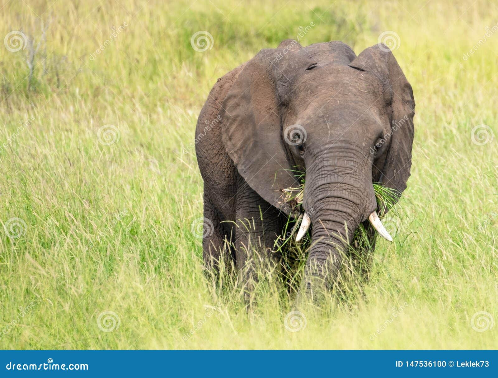 Elefante africano que come la hierba en el arbusto en el parque nacional de Kruger, Suráfrica e