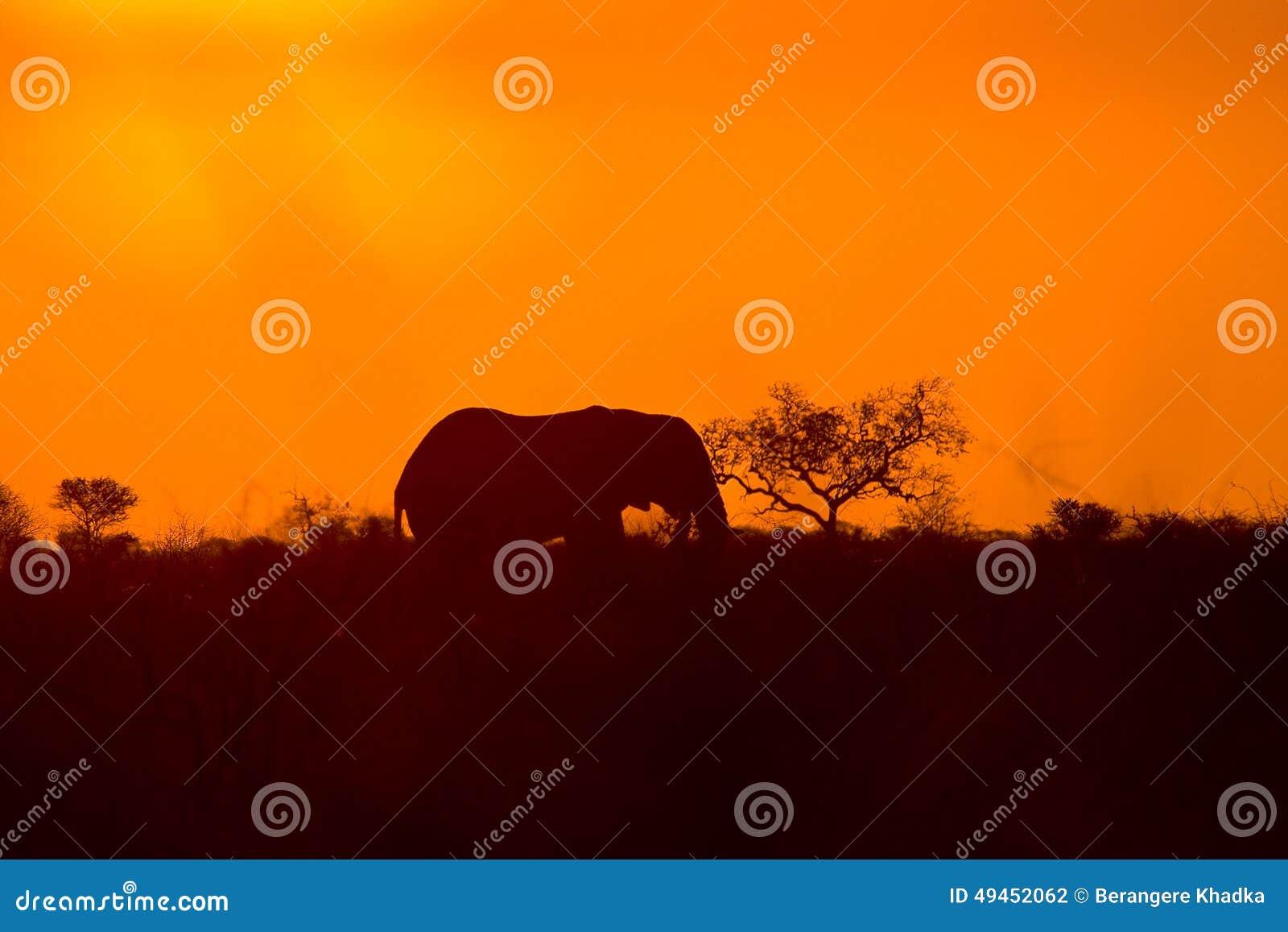 Elefante africano salvaje y puesta del sol, parque nacional de Kruger, Suráfrica
