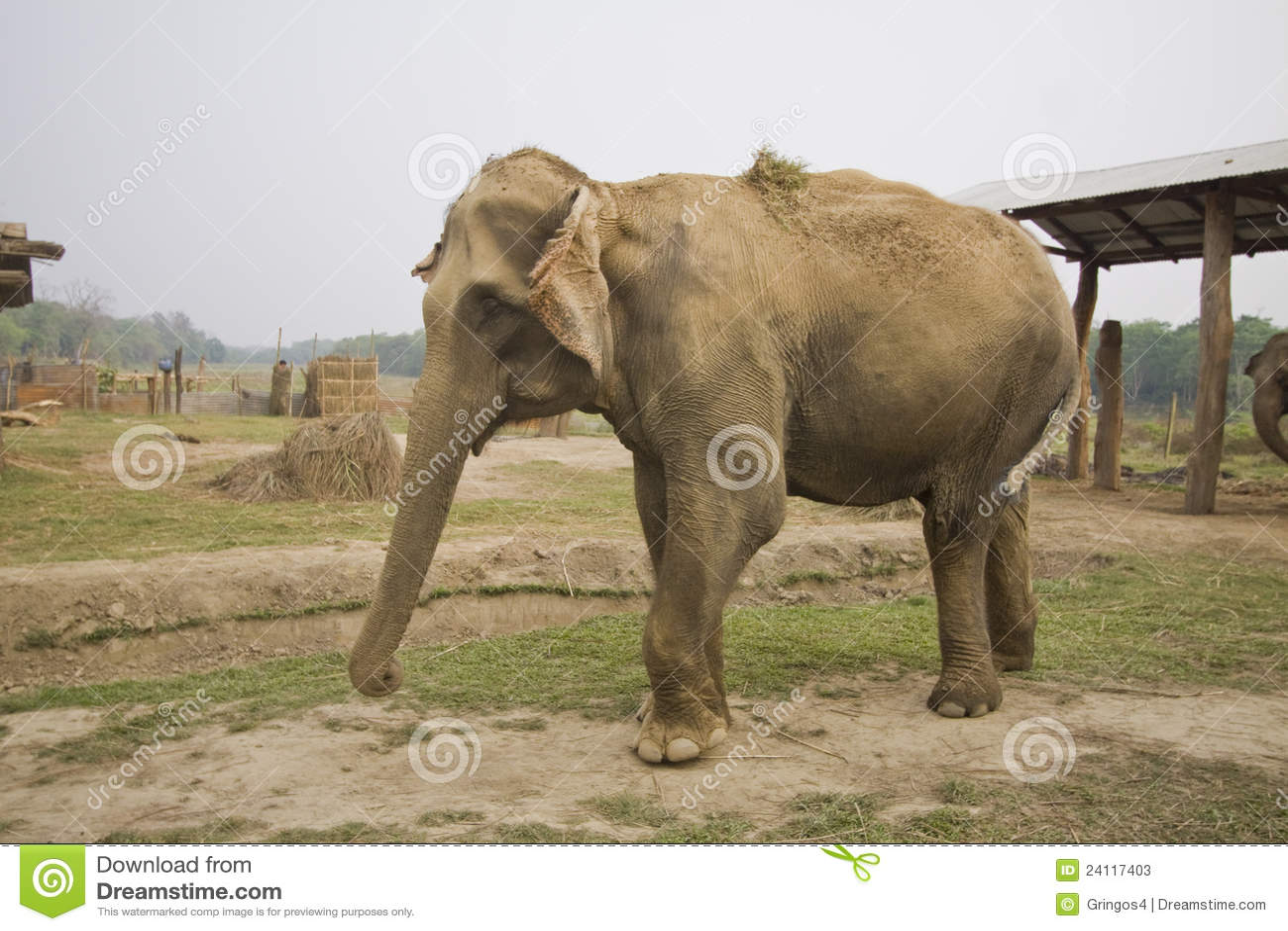 Elefante al centro di allevamento dell 39 elefante chitwan - Elefante foglio di colore dell elefante ...