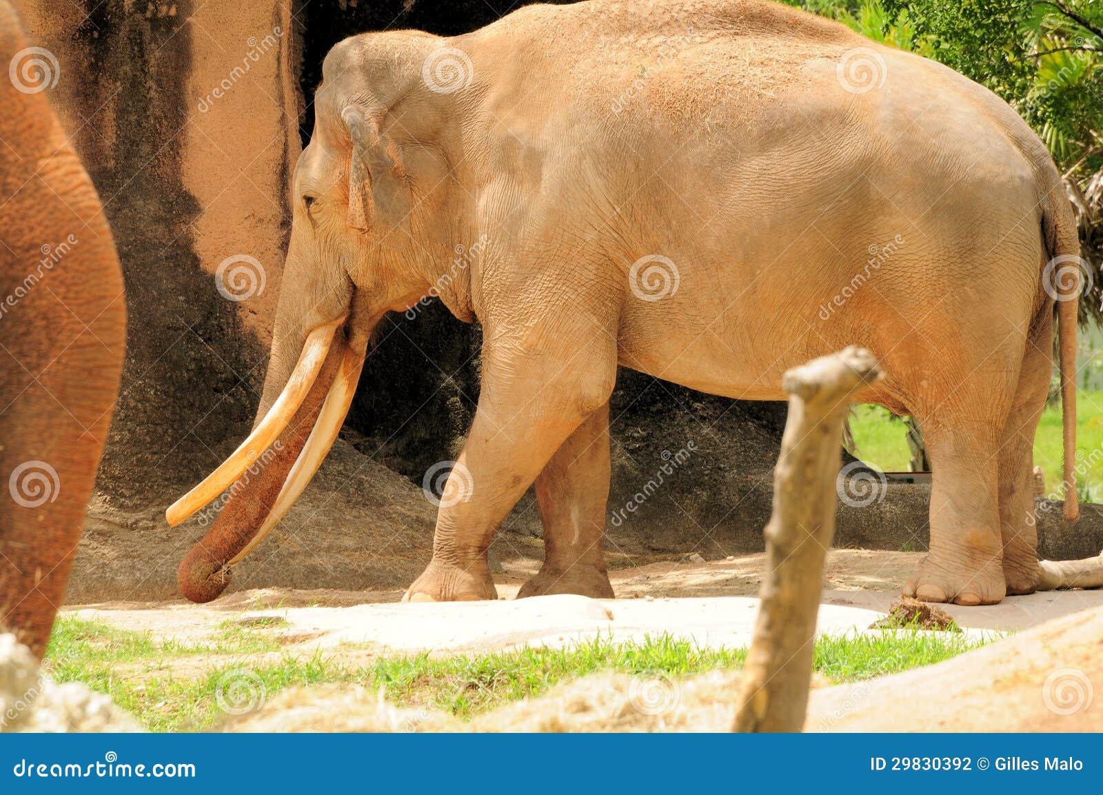 Elefante masculino