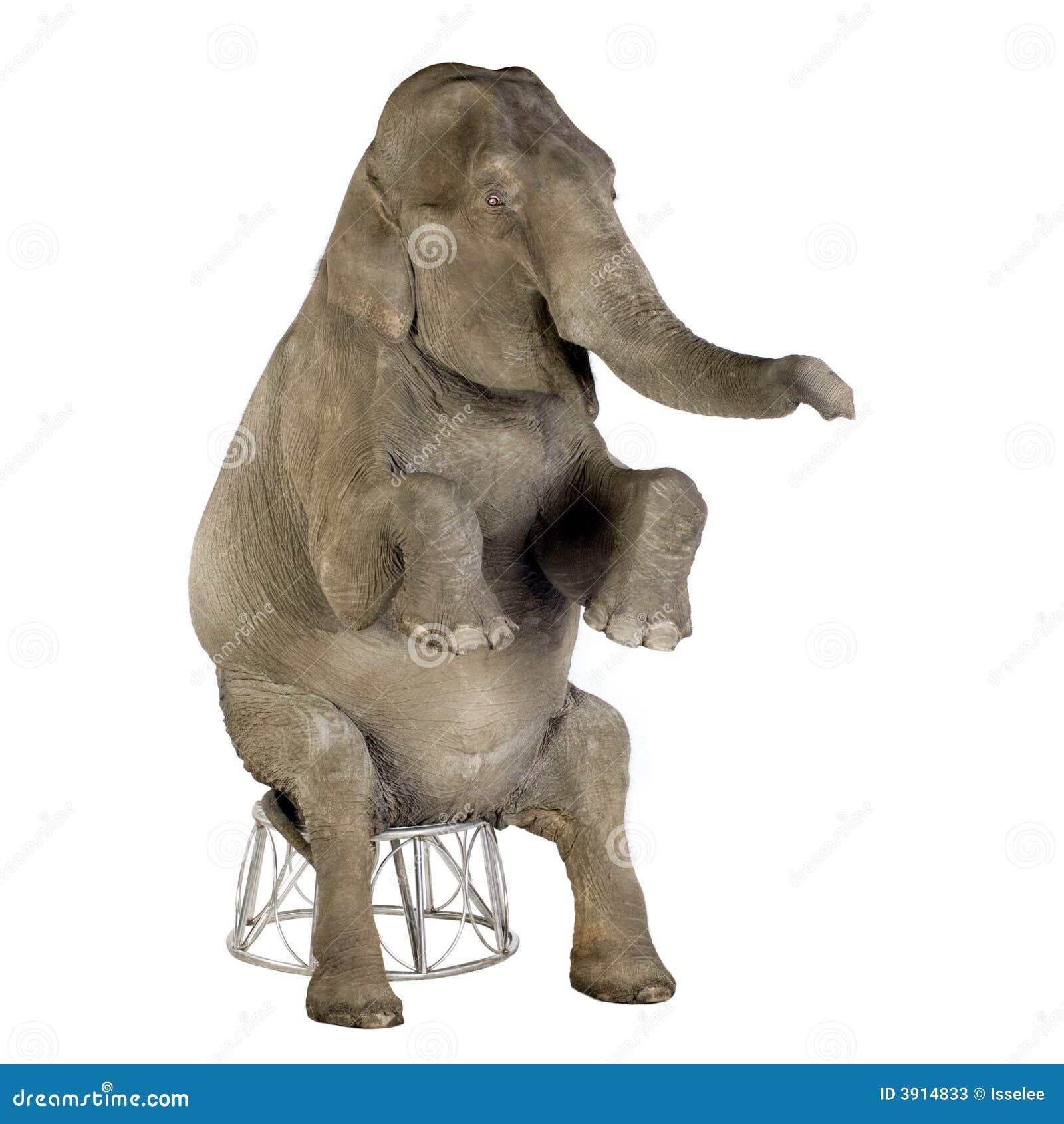 Elefante asiático - maximus do Elephas (40 anos)