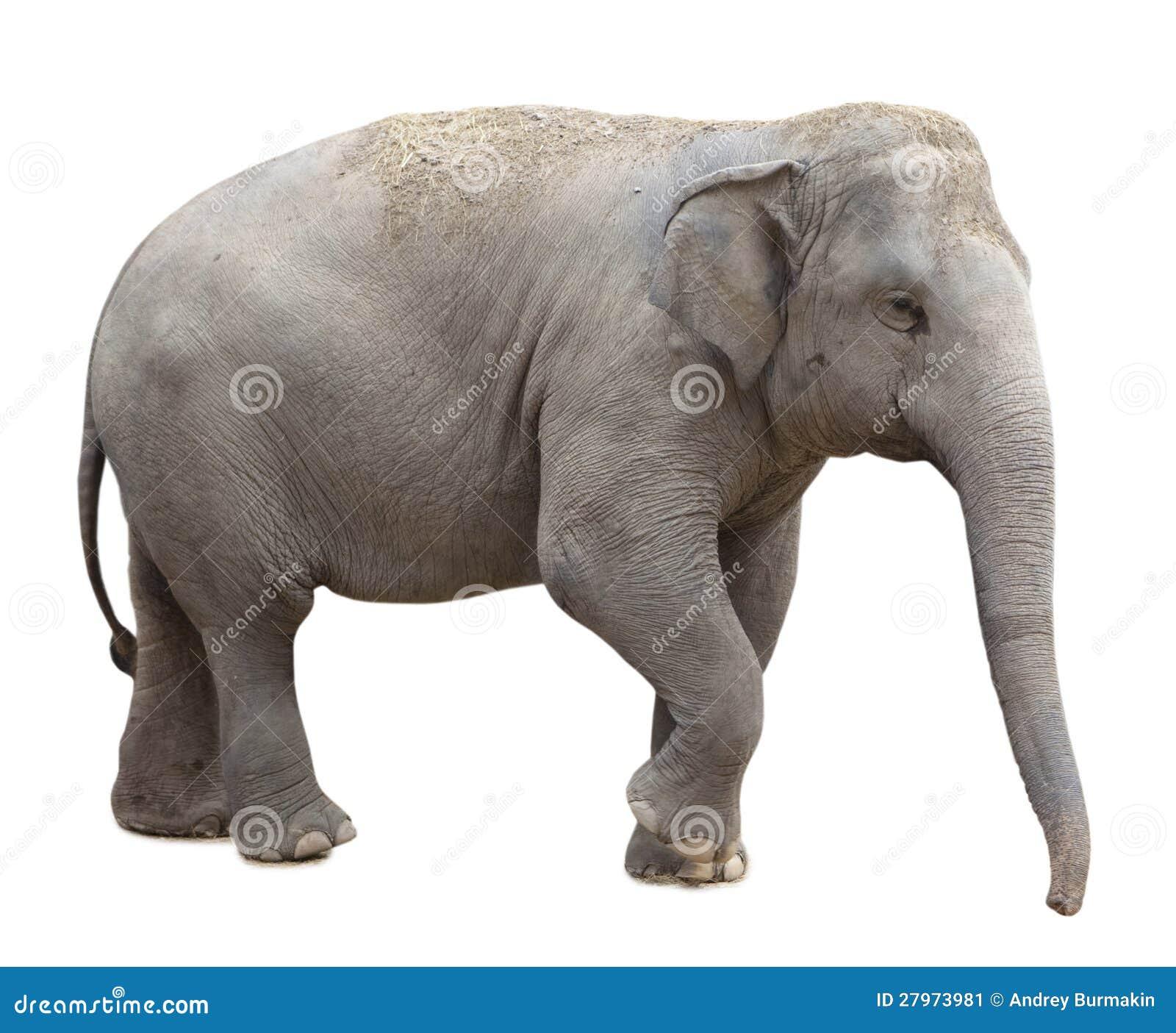 Elefante asiatico immagine stock immagine 27973981 - Elefante foglio di colore dell elefante ...