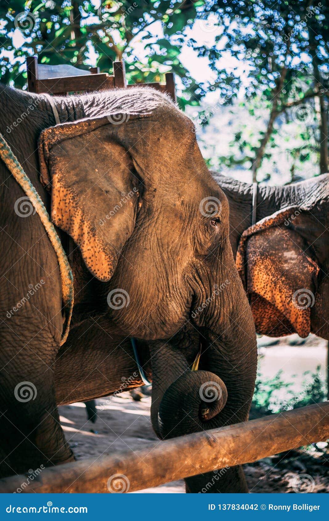 Elefante cercado na selva próximo de Luang Prabang, Laos