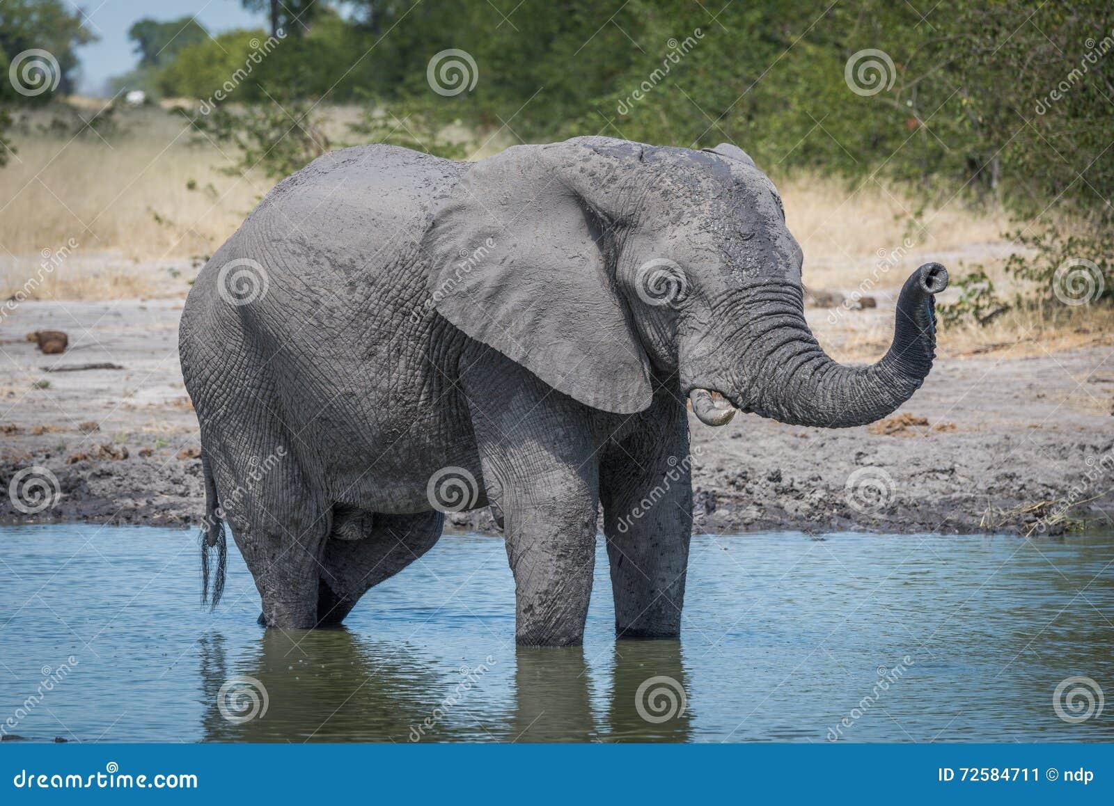 Elefante che sta in foro di acqua che alza tronco immagine for Mammiferi che vivono in acqua
