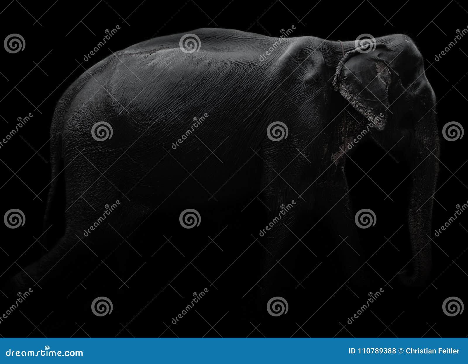 Elefante con fondo nero