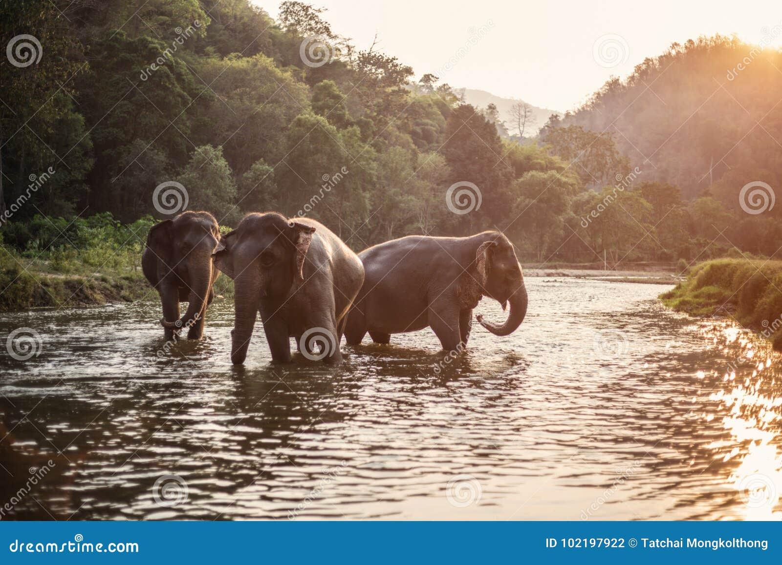Elefante de Asia en Tailandia