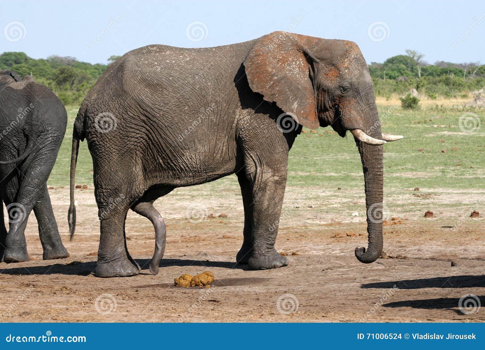 como es el pene del elefante
