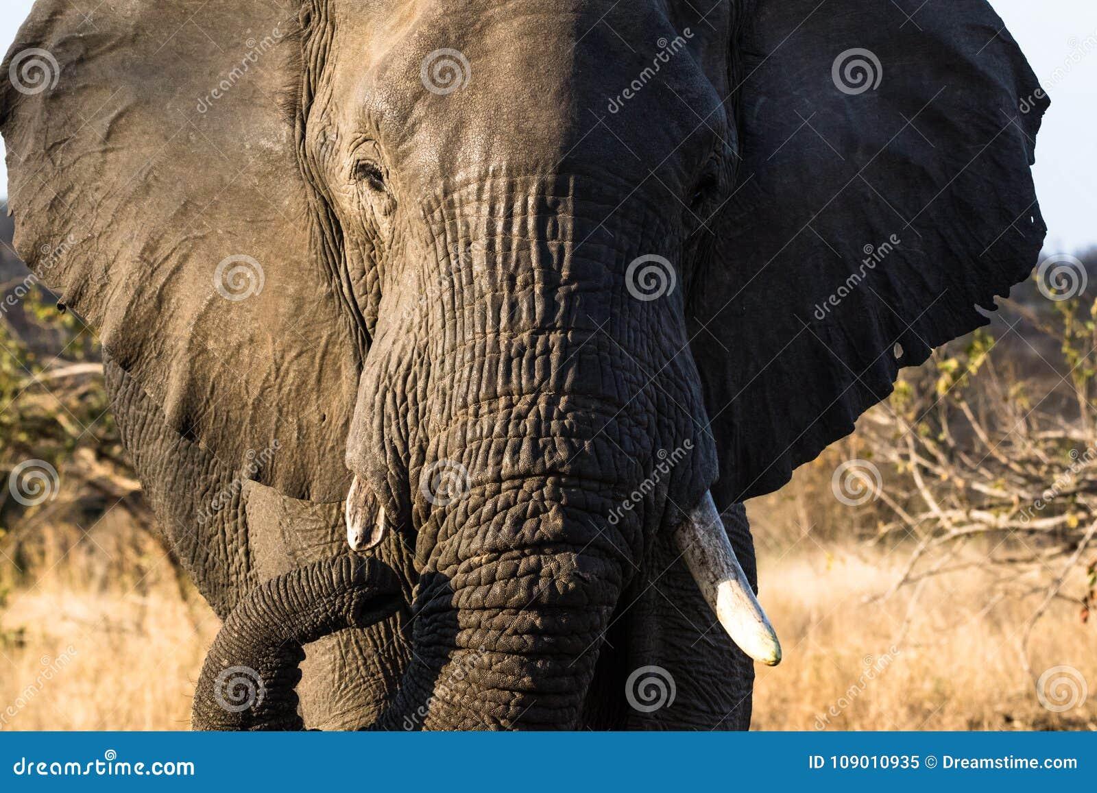 Elefante de Bull que vaga hacia nosotros