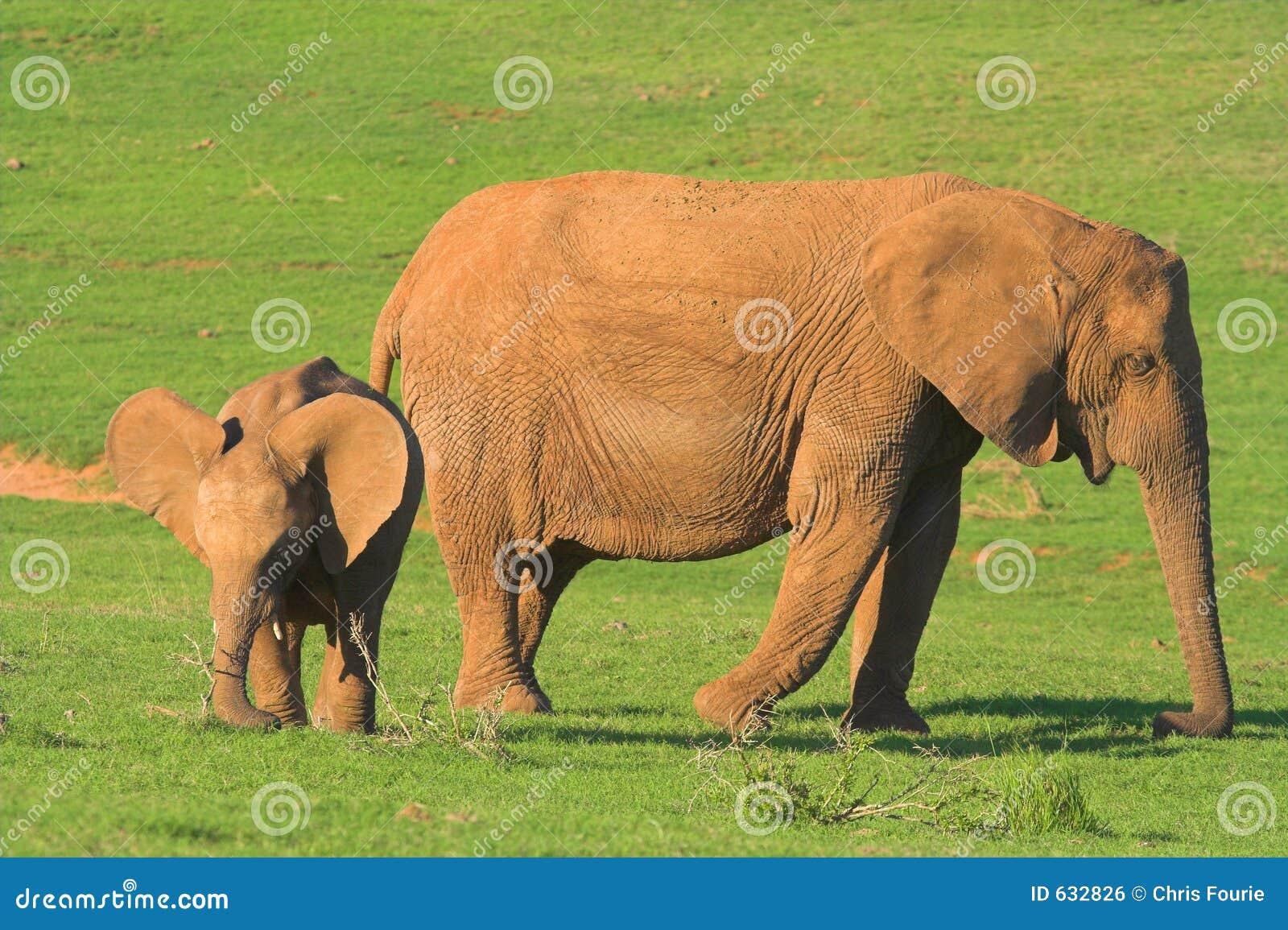 Elefante de la madre y del bebé