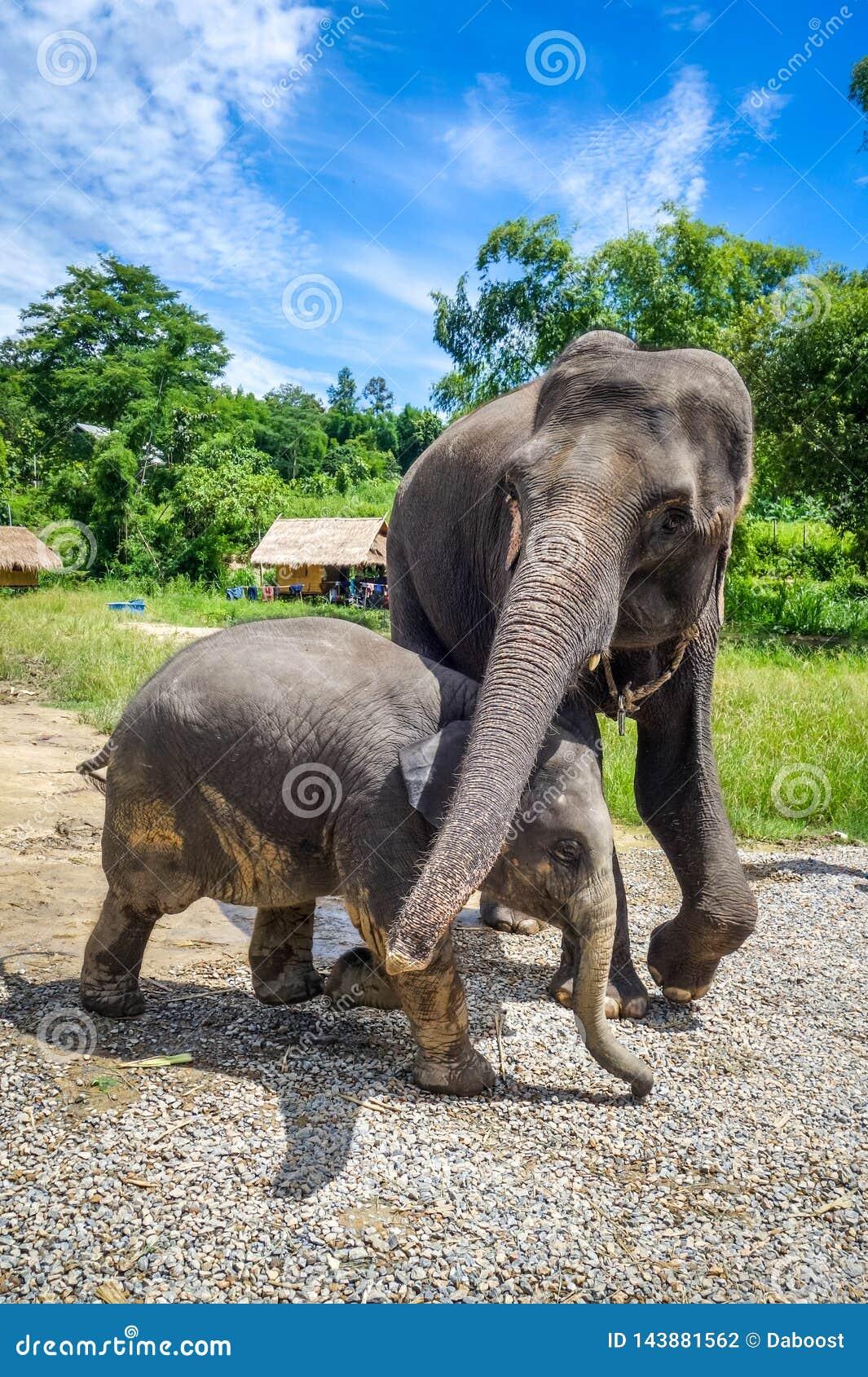 Elefante de la madre y del bebé en el parque protegido, Chiang Mai, Tailandia