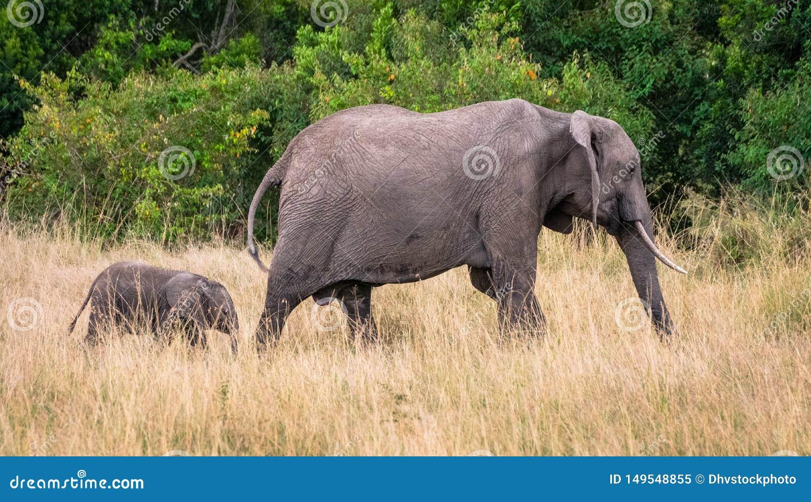 Elefante de la madre y del bebé en sabana africana, en Masai Mara, Kenia
