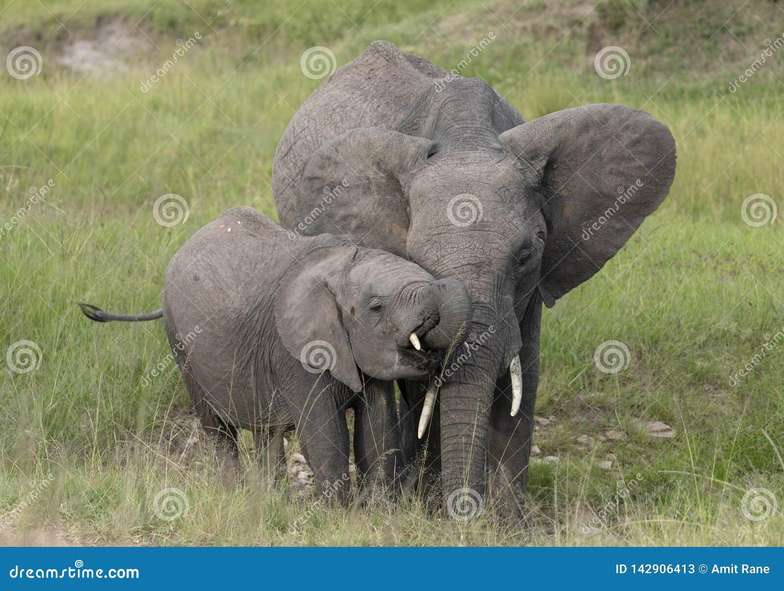 Elefante del bambino e della madre ai masai Mara Game Reserve, Kenya