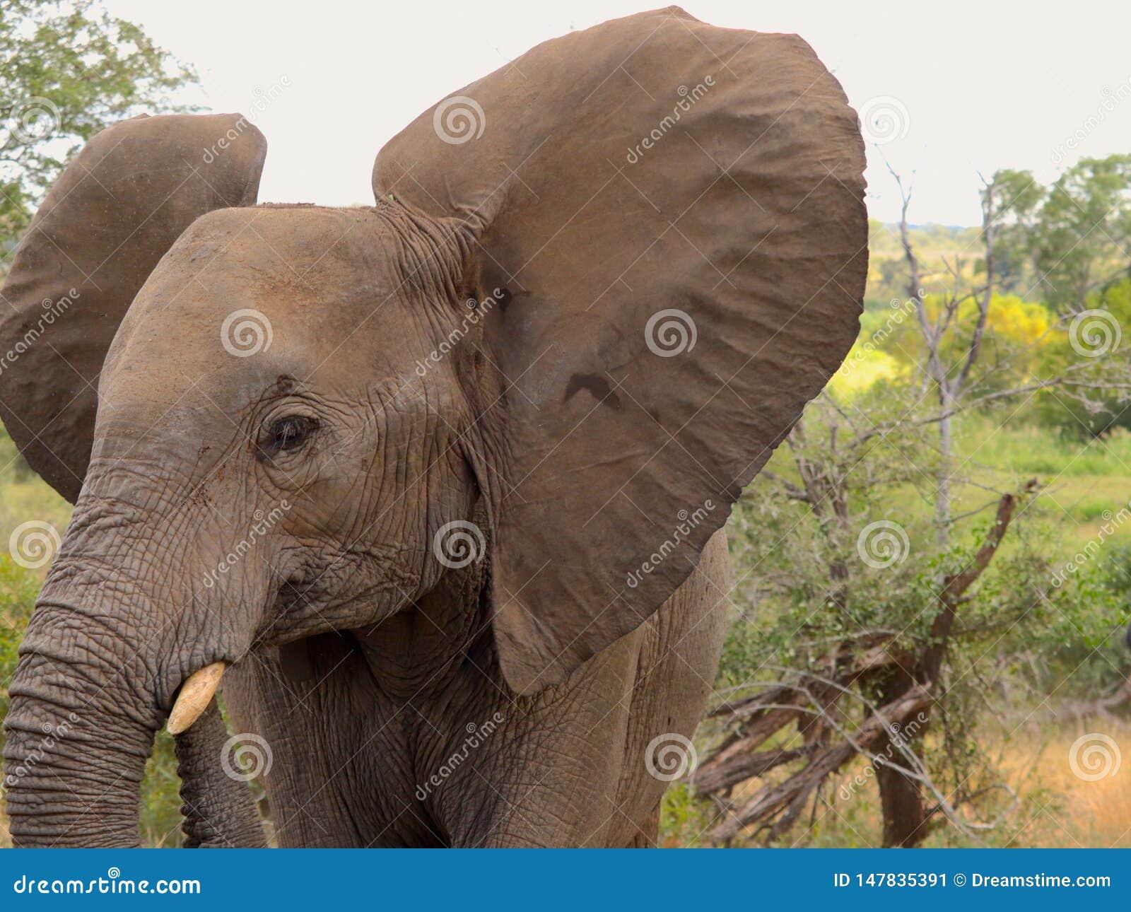 Elefante del bebé que muestra apagado sus oídos gigantes en el safari de Kruger