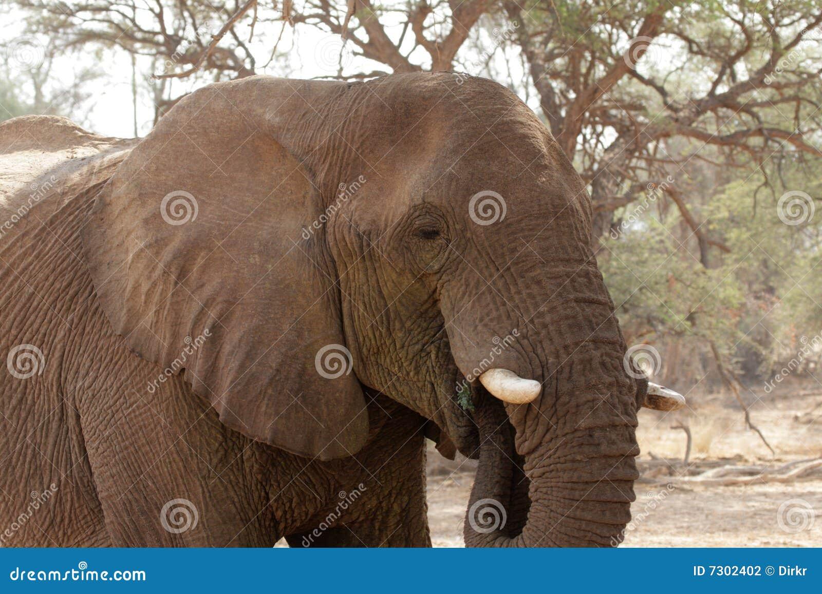 Elefante del deserto