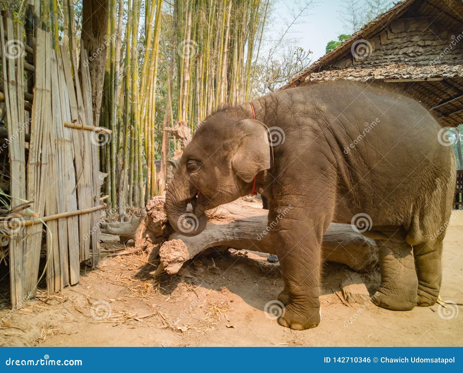 Elefante do bebê com pele molhada