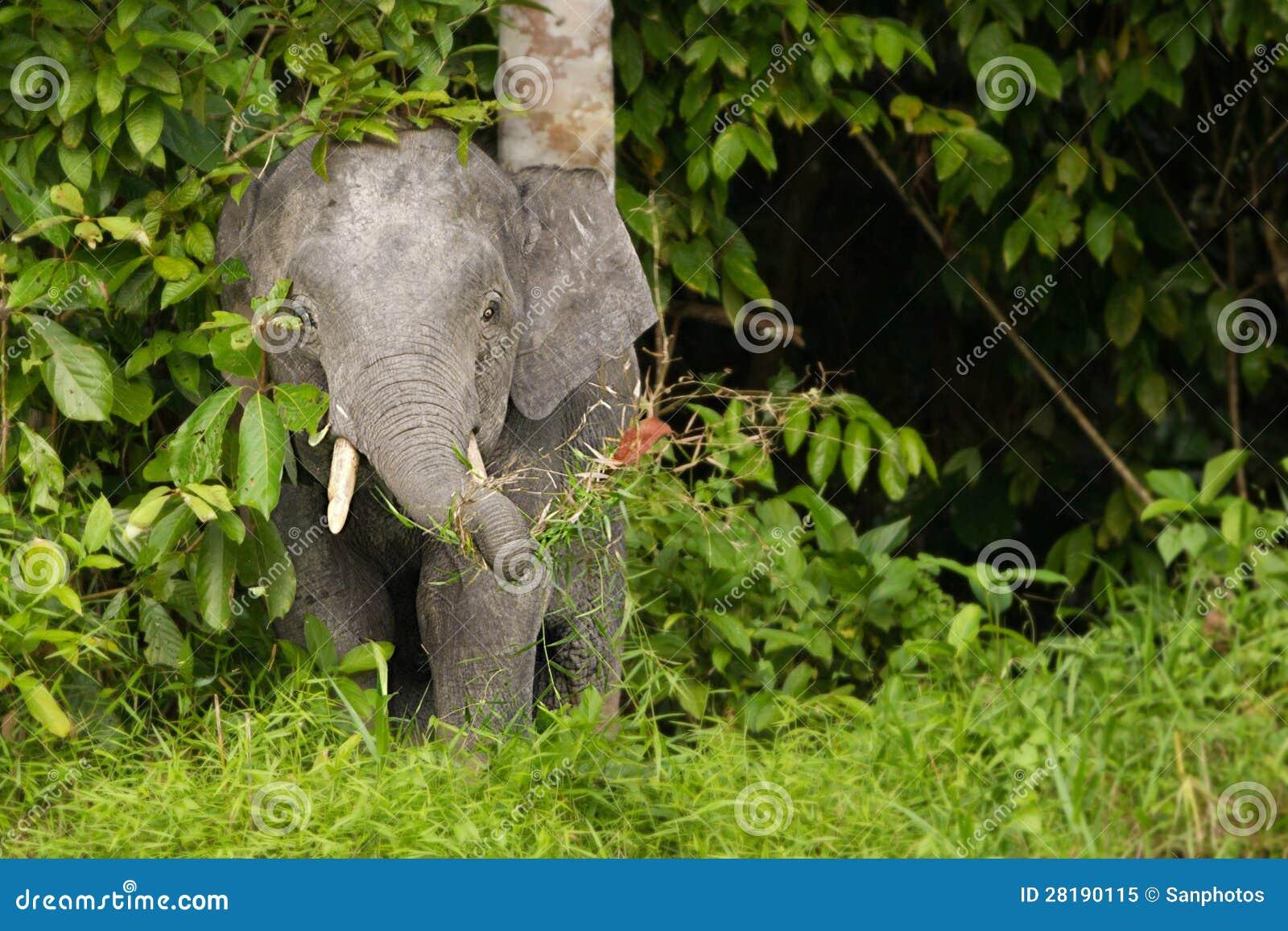 Elefante do pigmeu