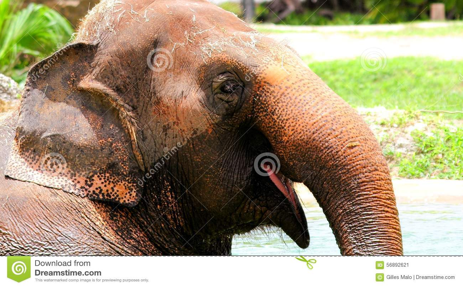 Elefante felice