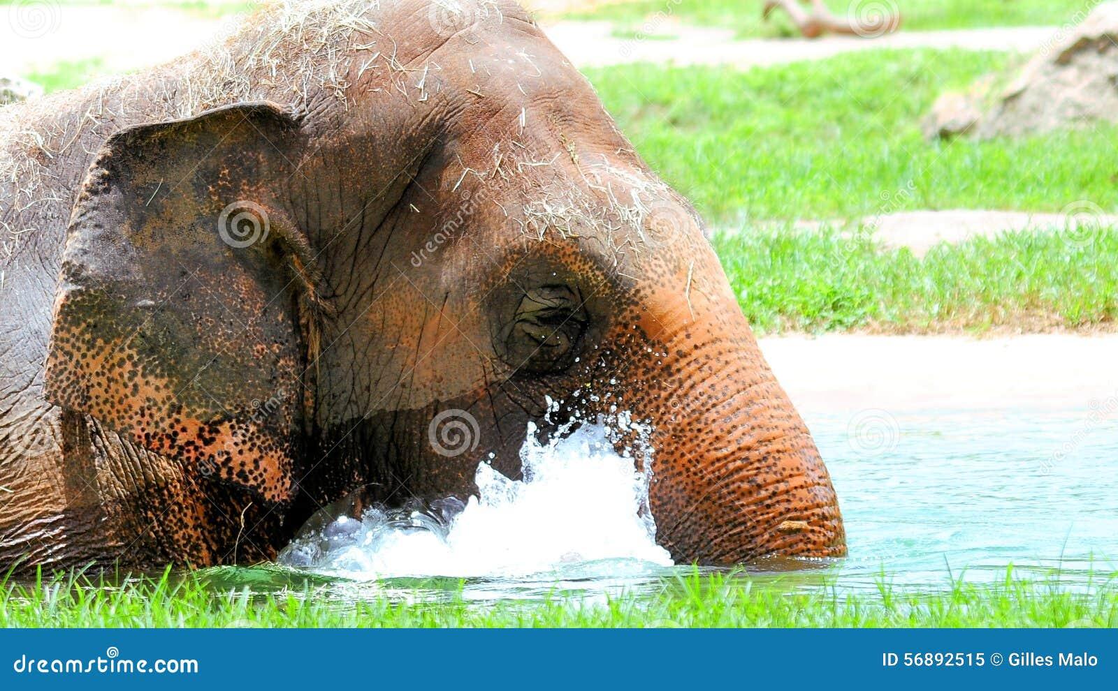 Elefante femminile in acqua
