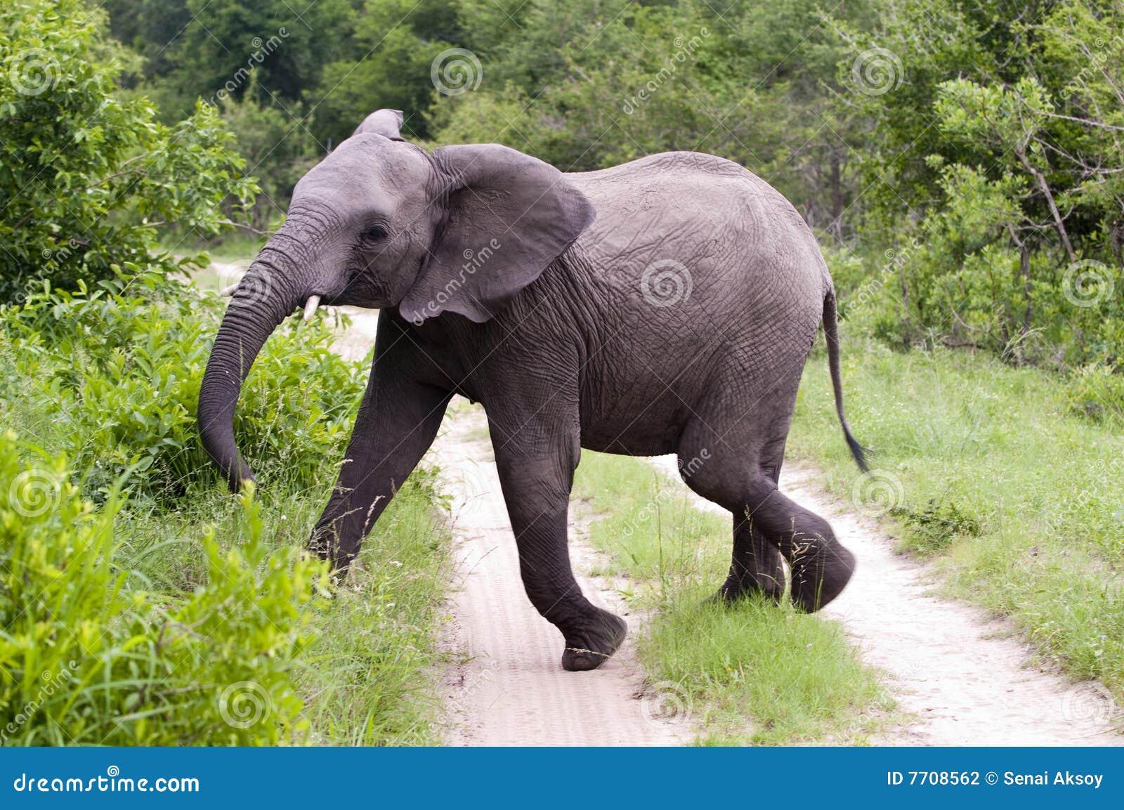 Elefante masculino joven en el parque de Kruger