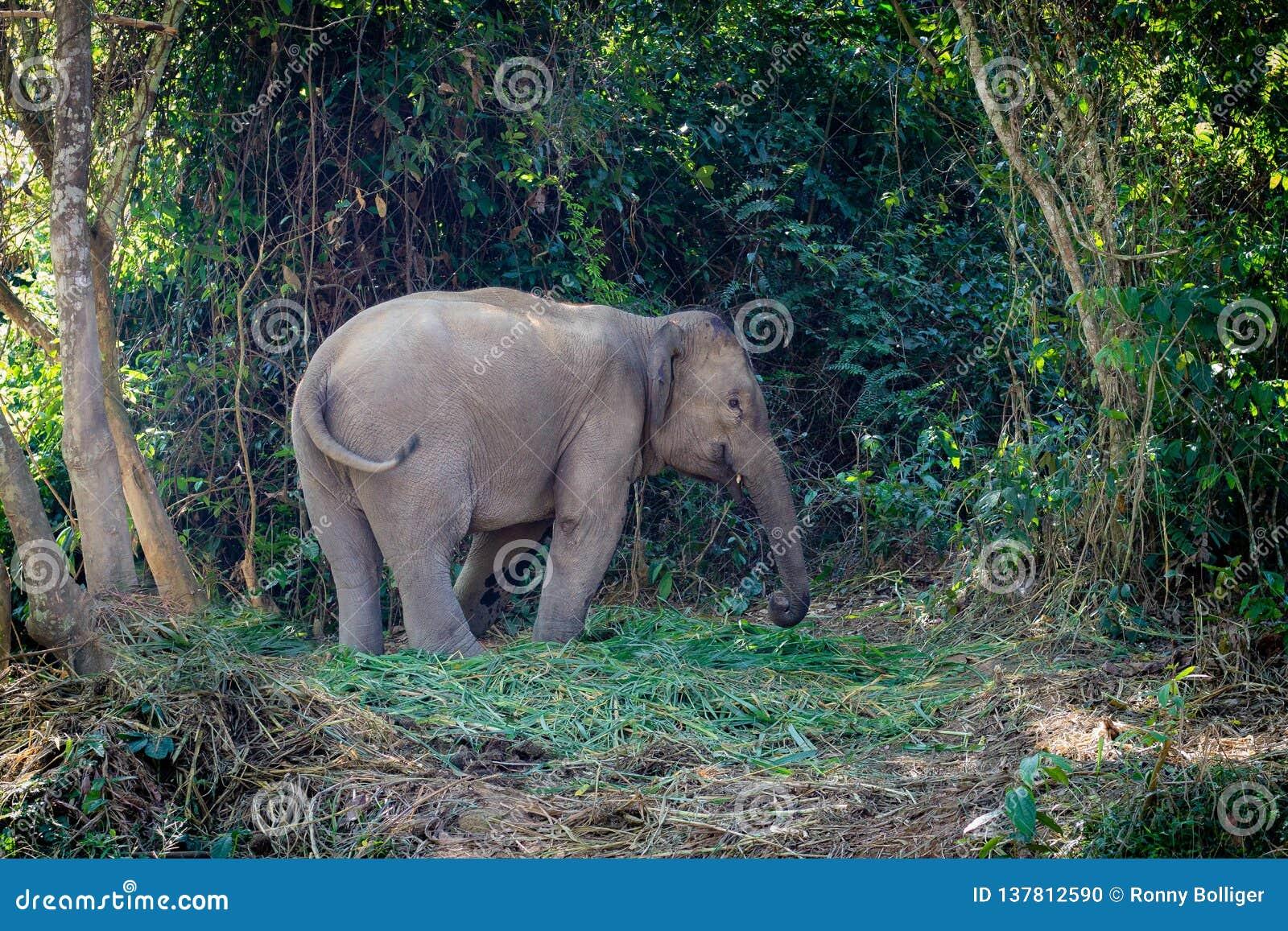 Elefante nel junge del Laos Esterno di Luang Prabang Conservi gli elefanti L elefante sta calmo nella foresta