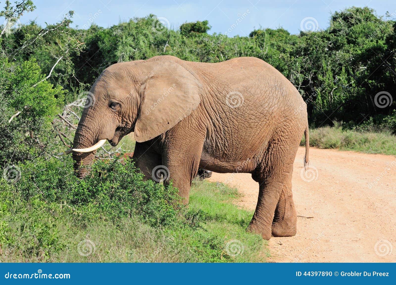 Elefante parco nazionale dell 39 elefante di addo sudafrica - Elefante foglio di colore dell elefante ...