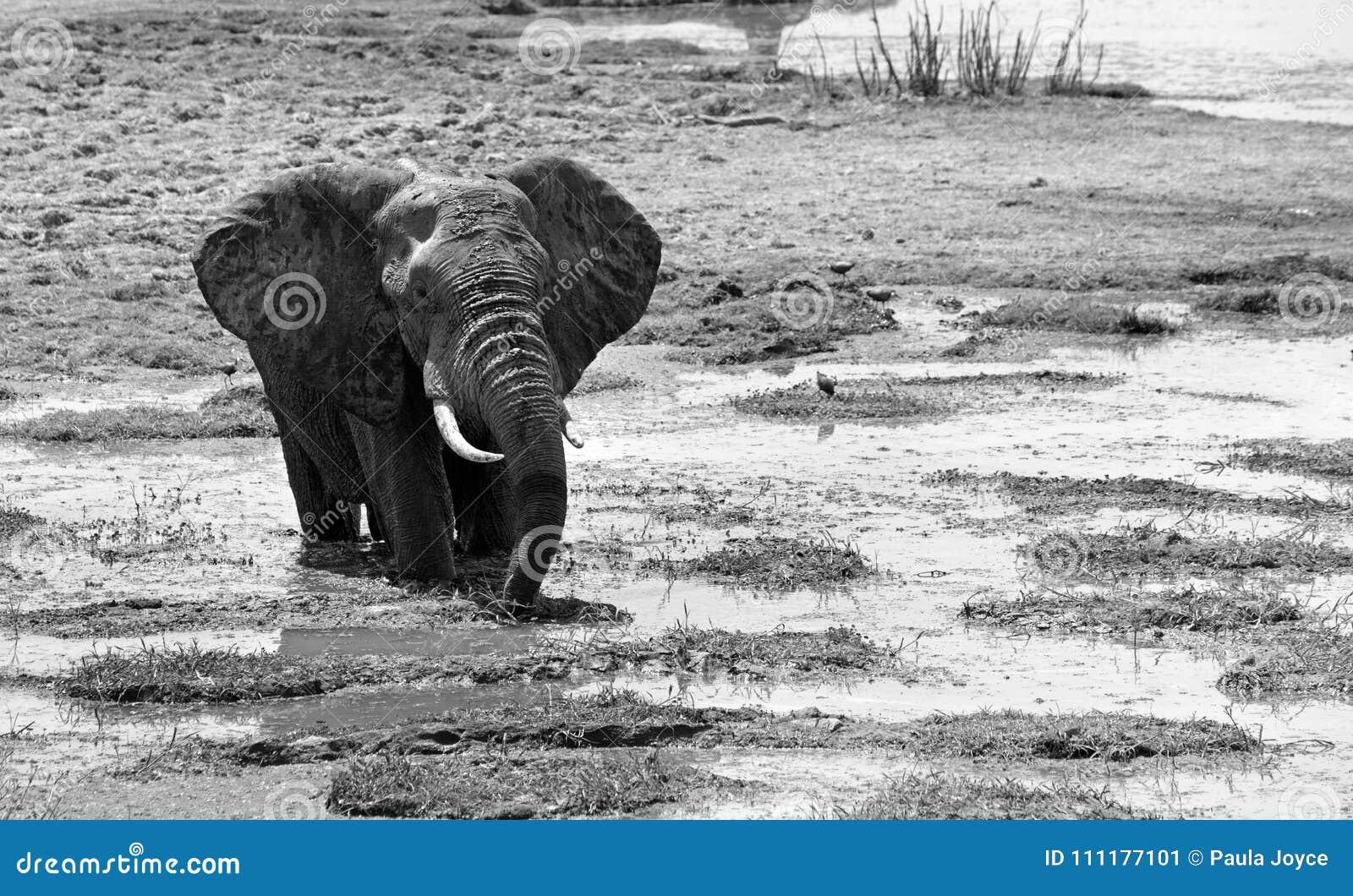 Elefante que chafurda em uma lagoa rasa em preto & em branco