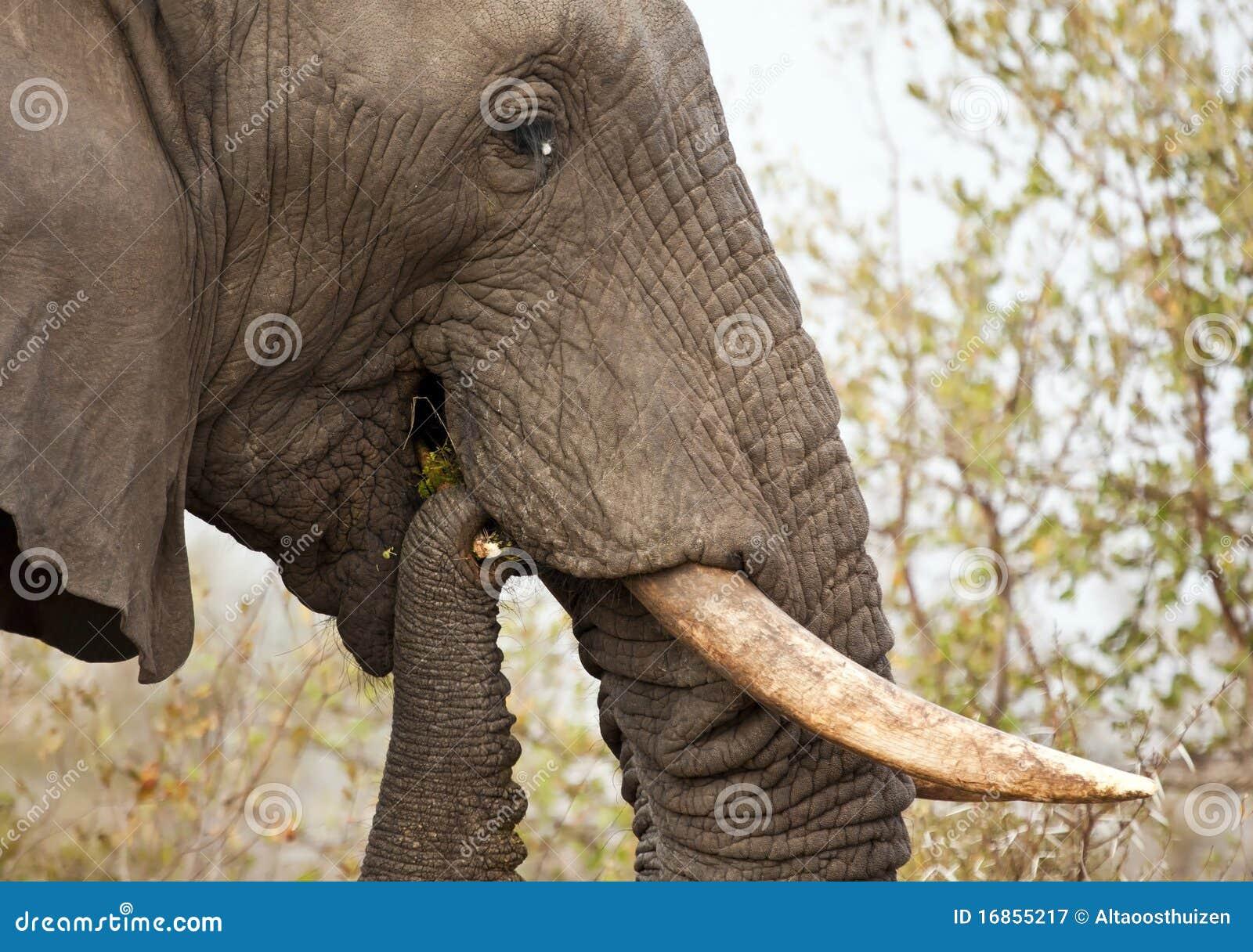 Elefante que come o arbusto do espinho