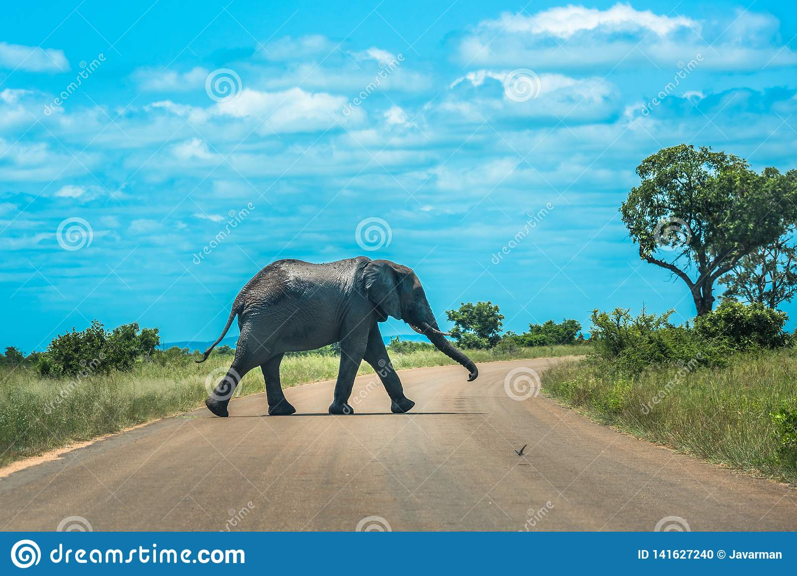 Elefante que cruza el camino, parque nacional de Kruger, Suráfrica