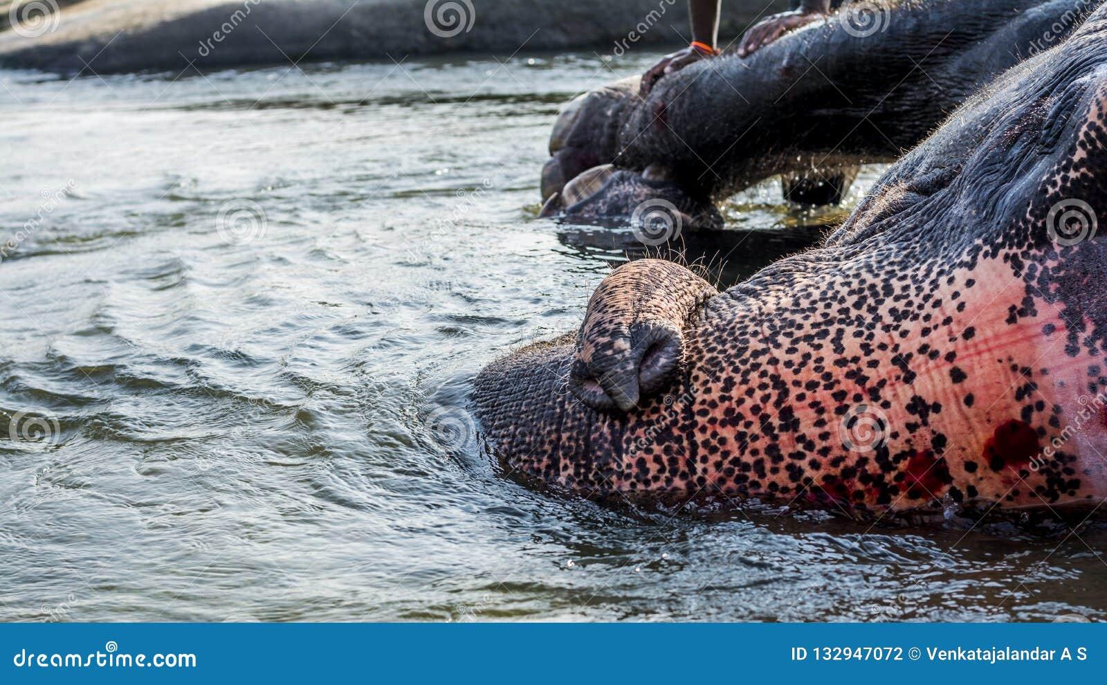 Elefante que disfruta del baño dado por su Mahout