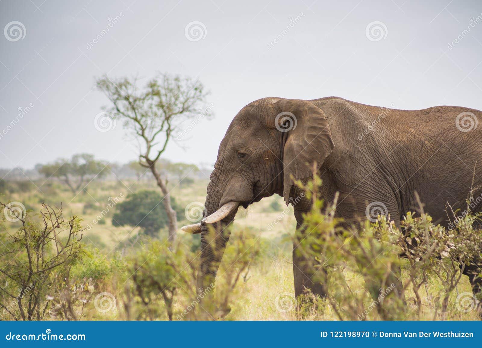 Elefante que se coloca en la hierba alta