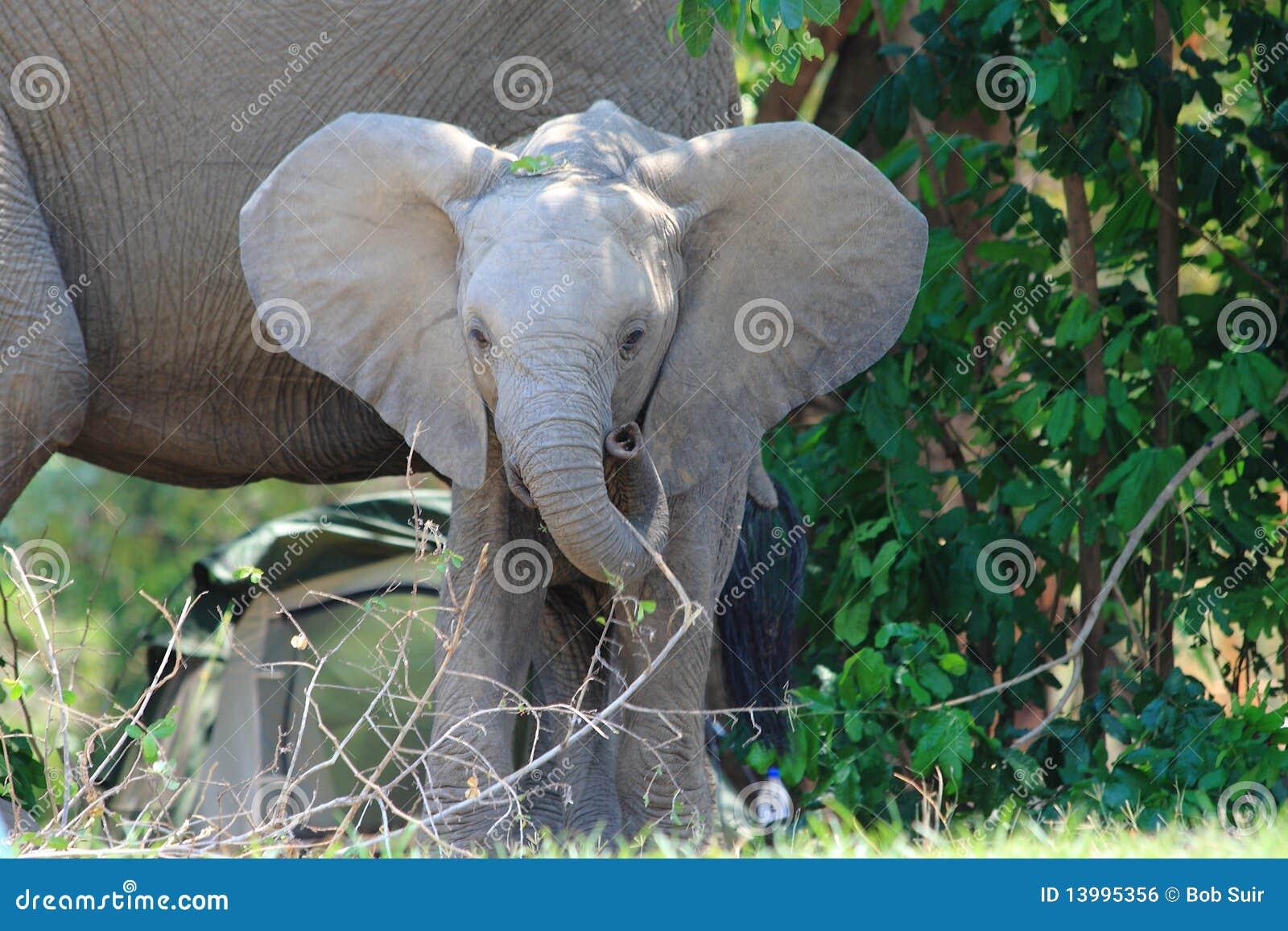 Elefante salvaje del bebé