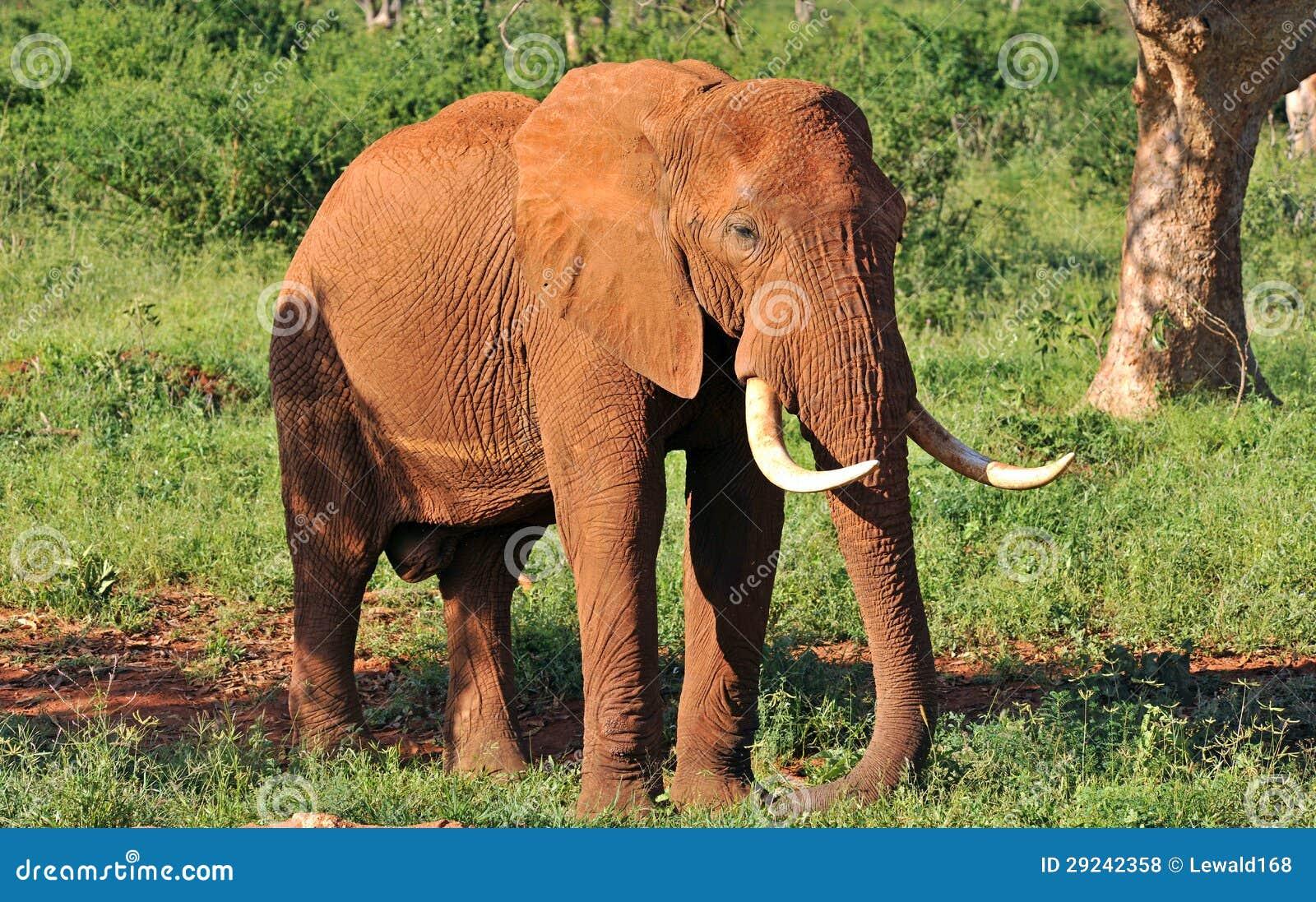 Download Elefante velho foto de stock. Imagem de wildlife, tronco - 29242358