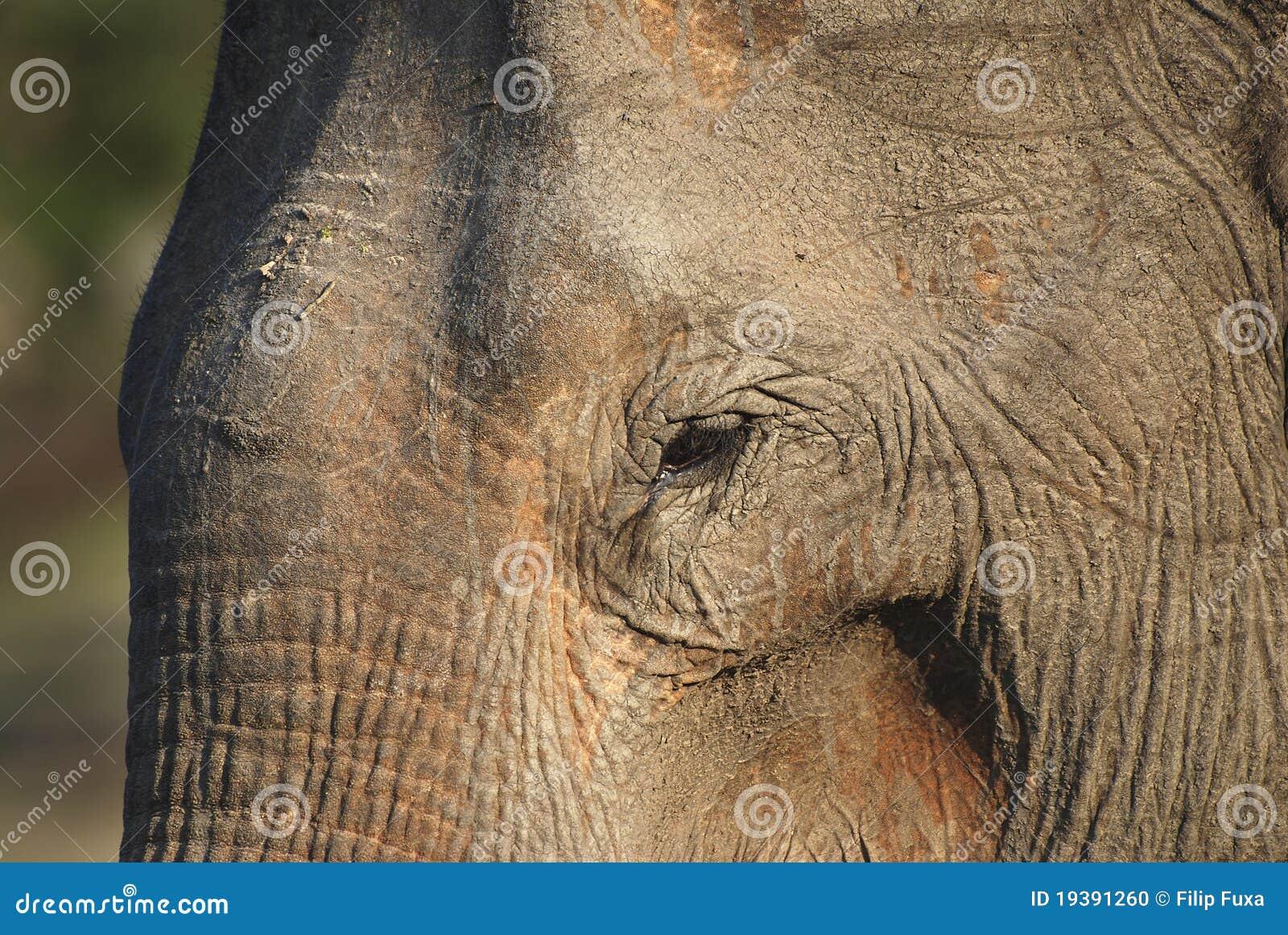 Elefante viejo
