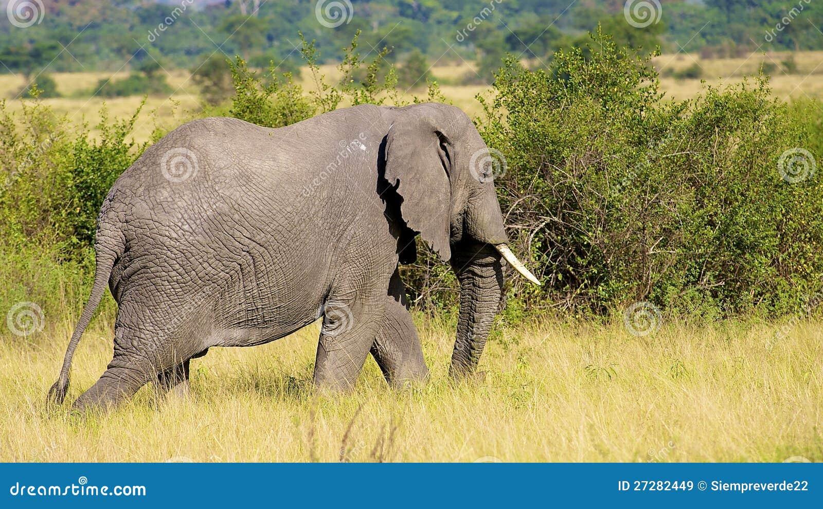 Elefanten går i Afrika