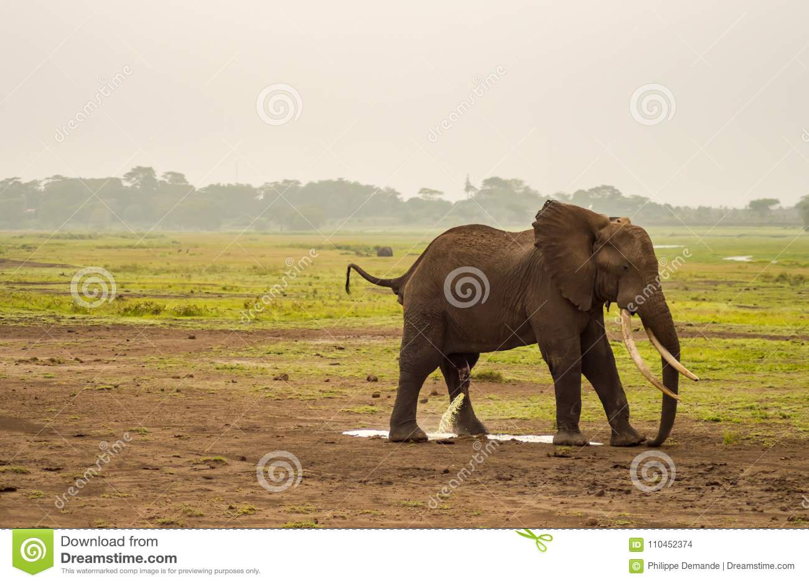 Elefanten som urinerar i Amboseli, parkerar