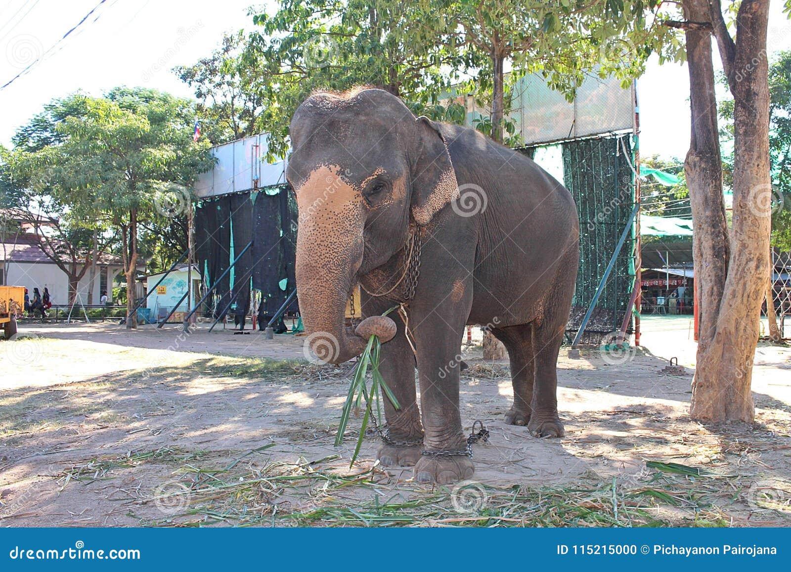 Elefanten står under trädet