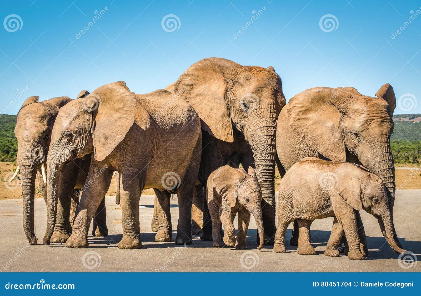 Elefanter Addo elefanter parkerar, Sydafrika