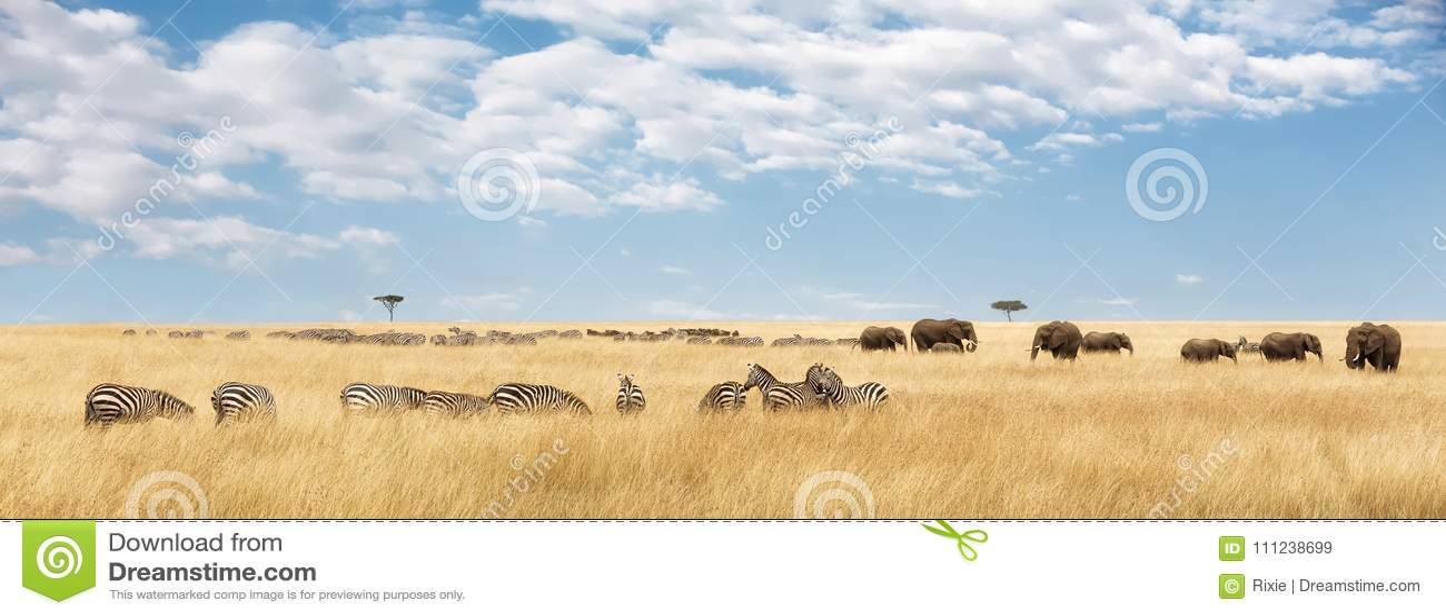 Elefanter och sebrapanorama