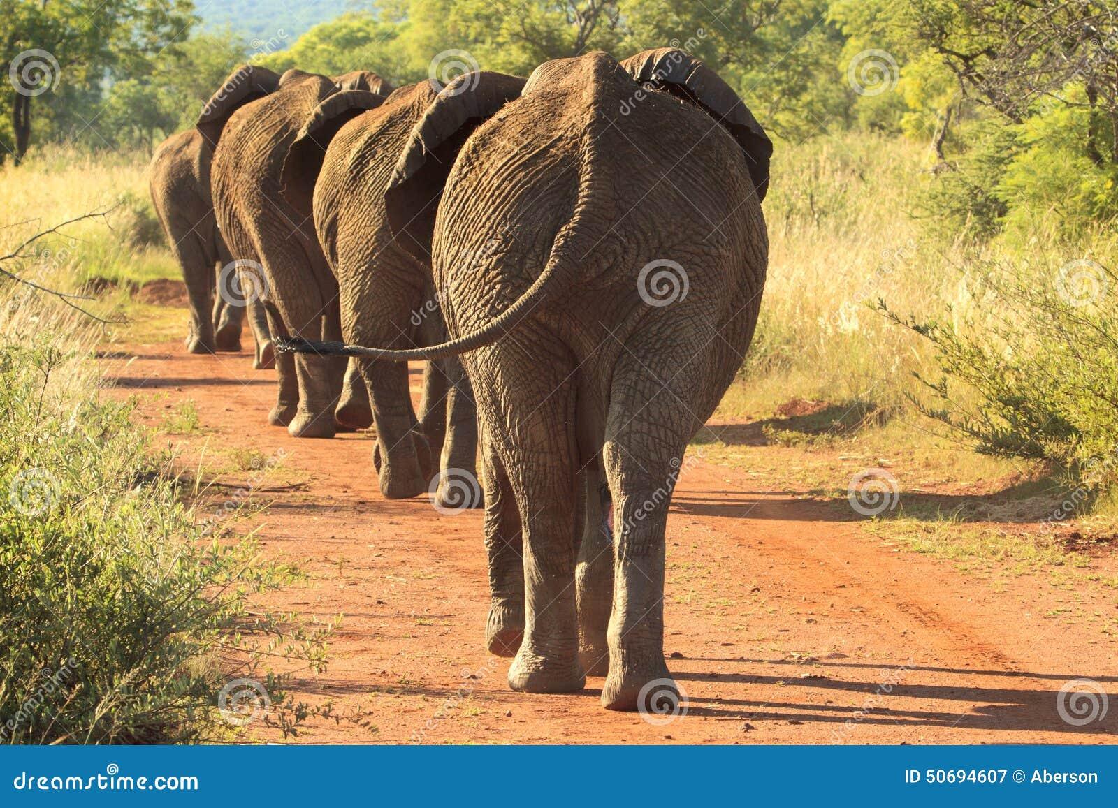 Elefanter som marscherar ner vägen
