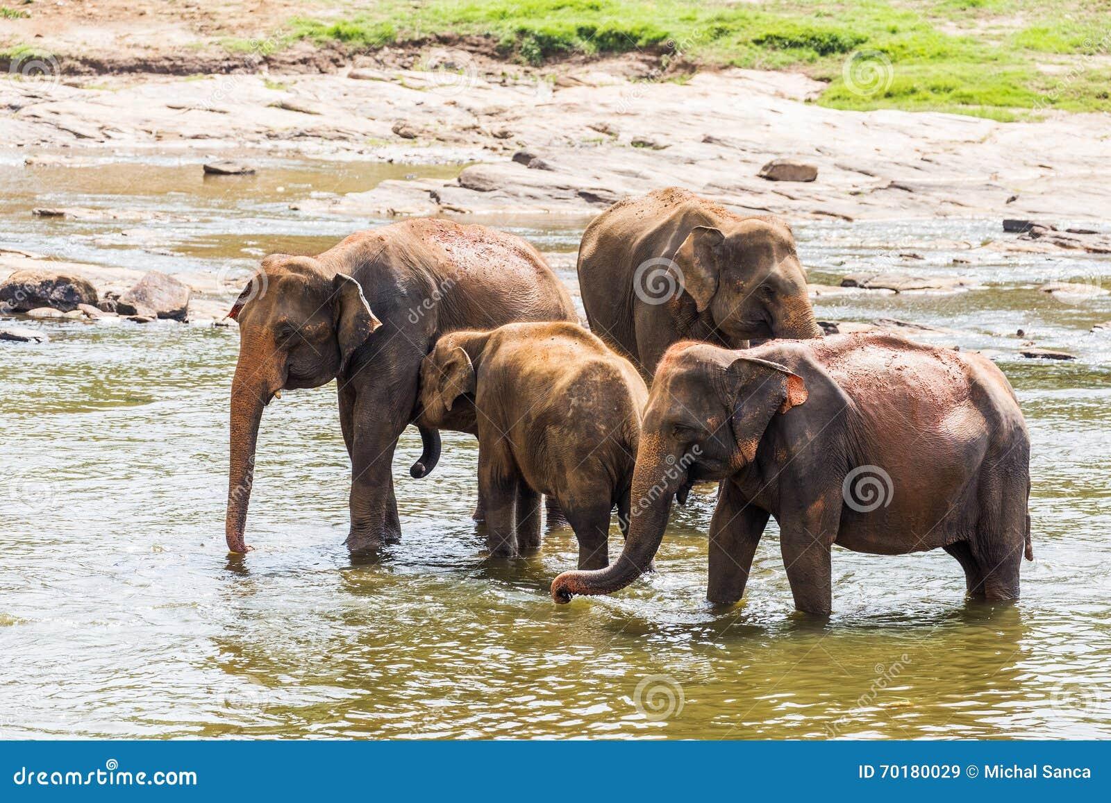 Elefanter som vadar floden