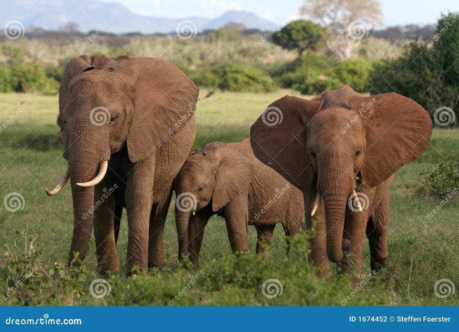 Tres elefantes africanos en el pasto, parque nacional de Tsavo, Kenia.