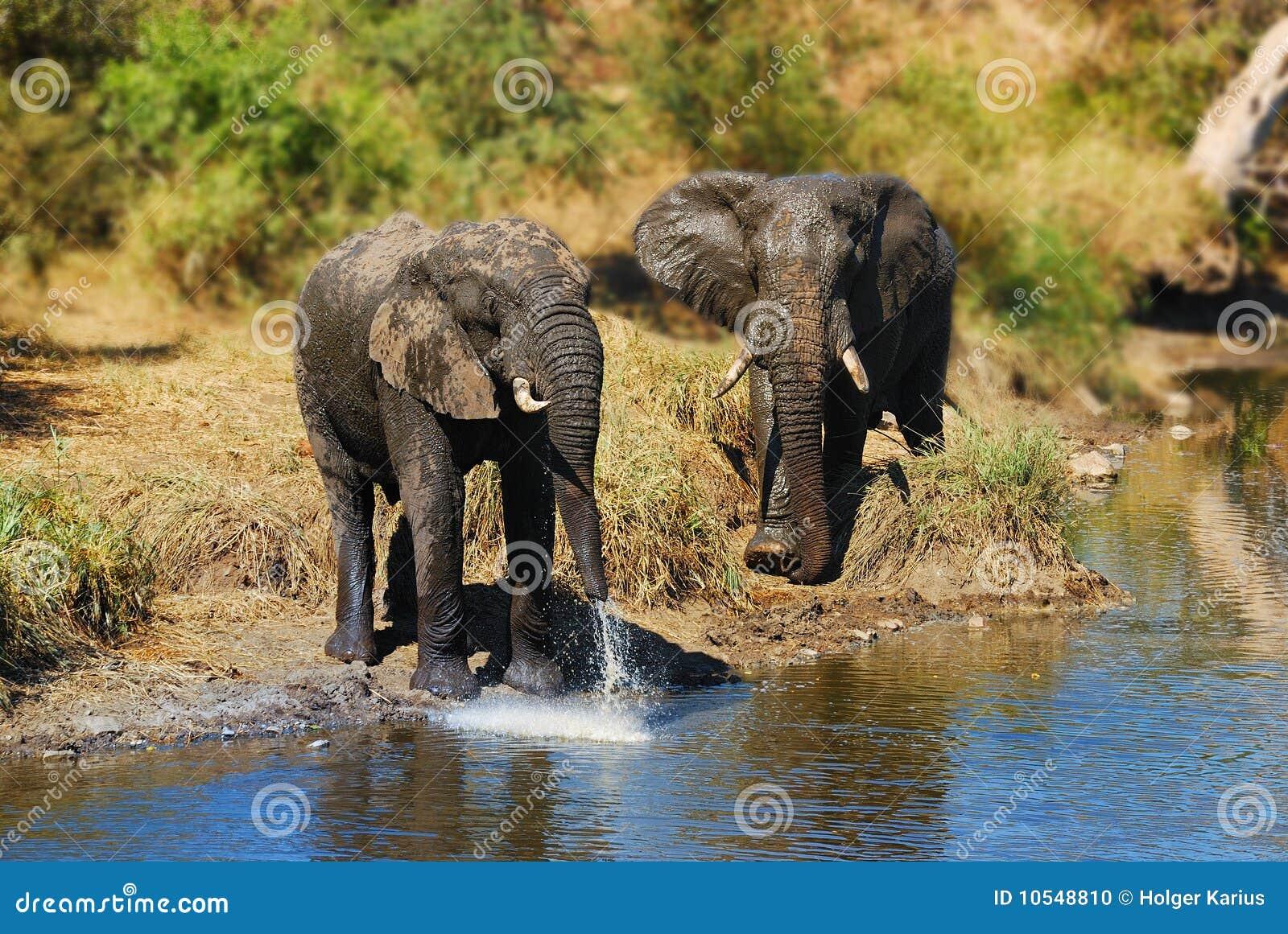 Elefantes africanos (africana do Loxodonta)
