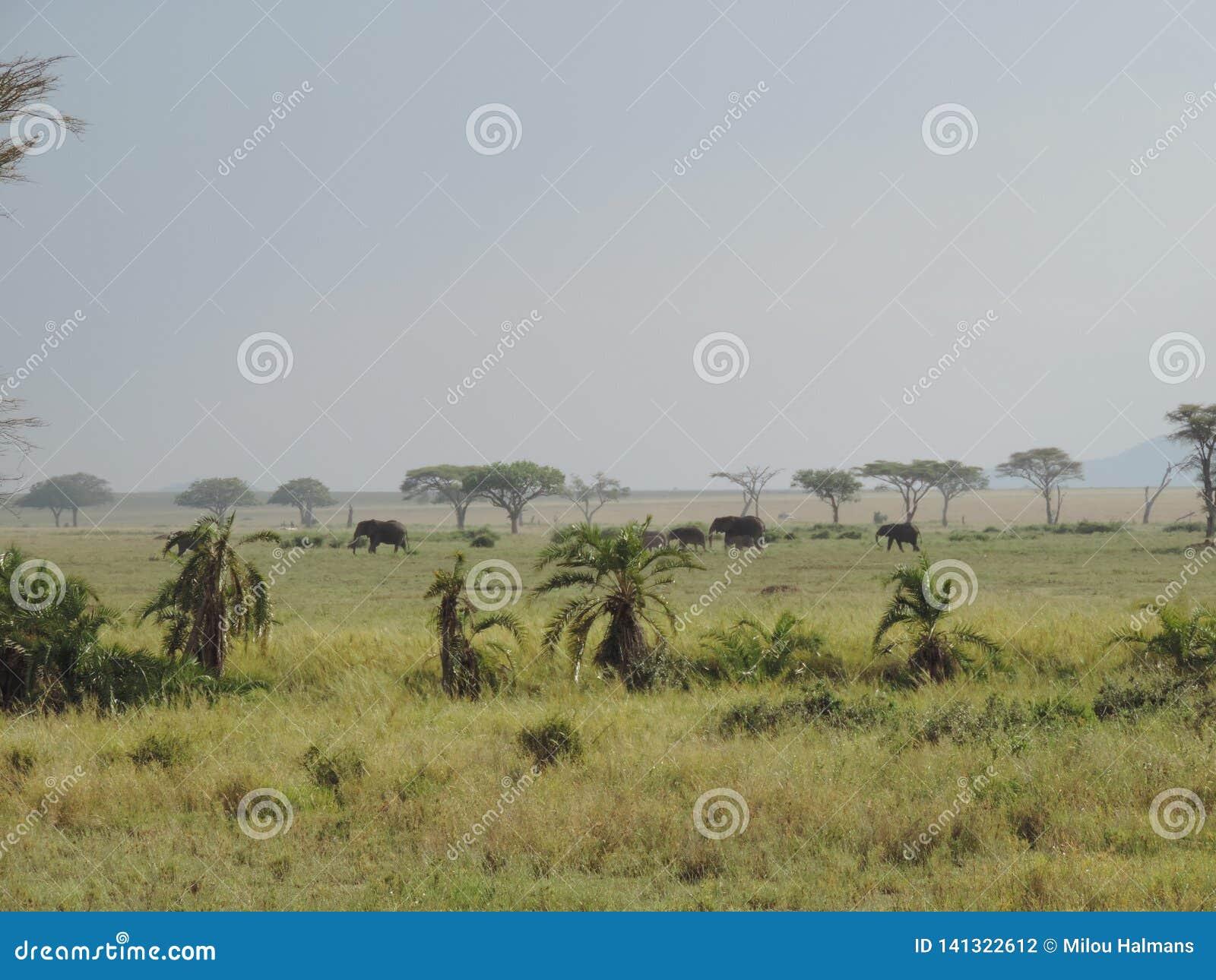 Elefantes africanos en el parque nacional de Serengeti, Tanzania