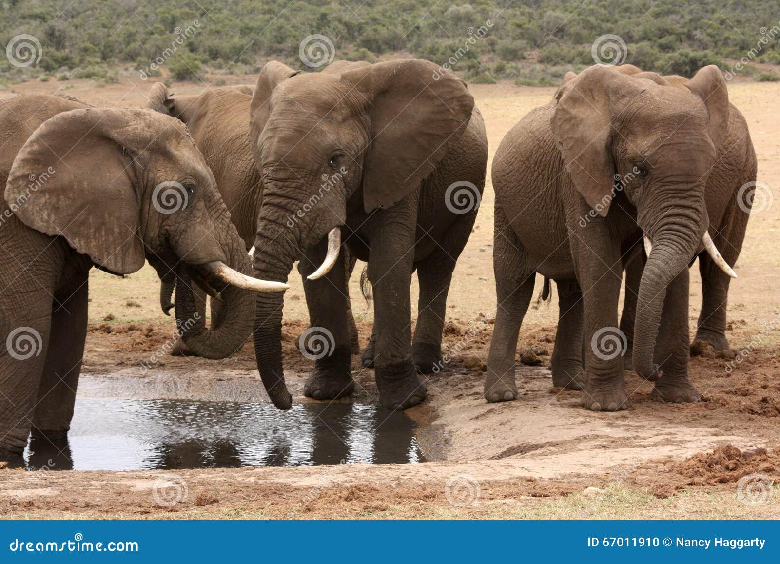 Elefantes africanos no waterhole em África do Sul