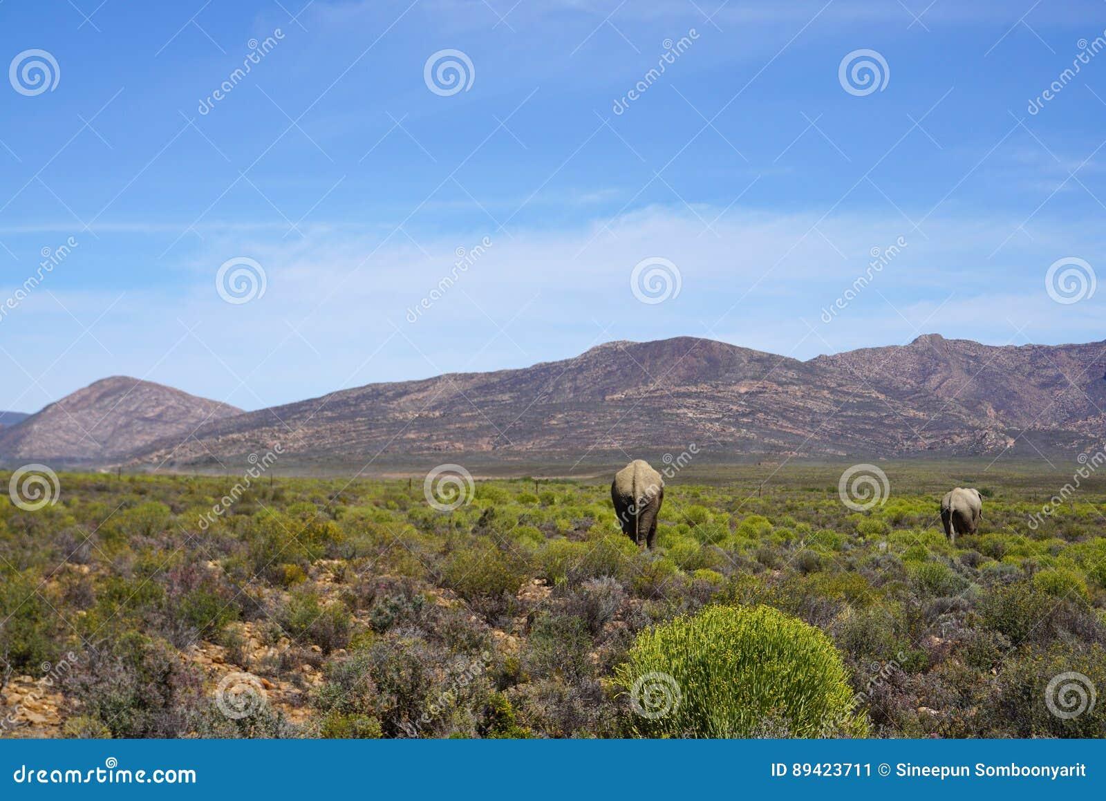 Elefantes africanos que andam no fundo do prado e da montanha