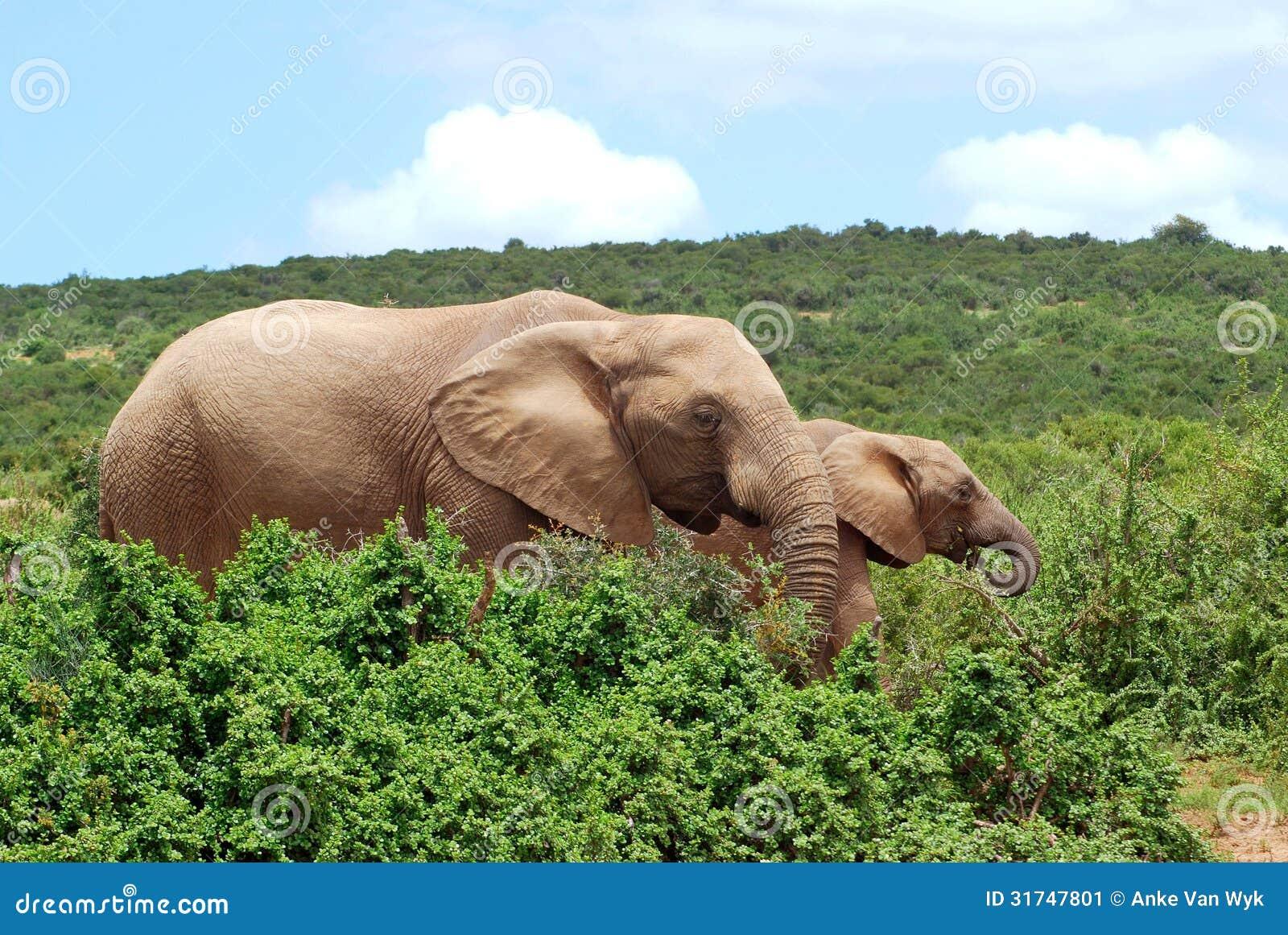 Elefantes africanos que pastam