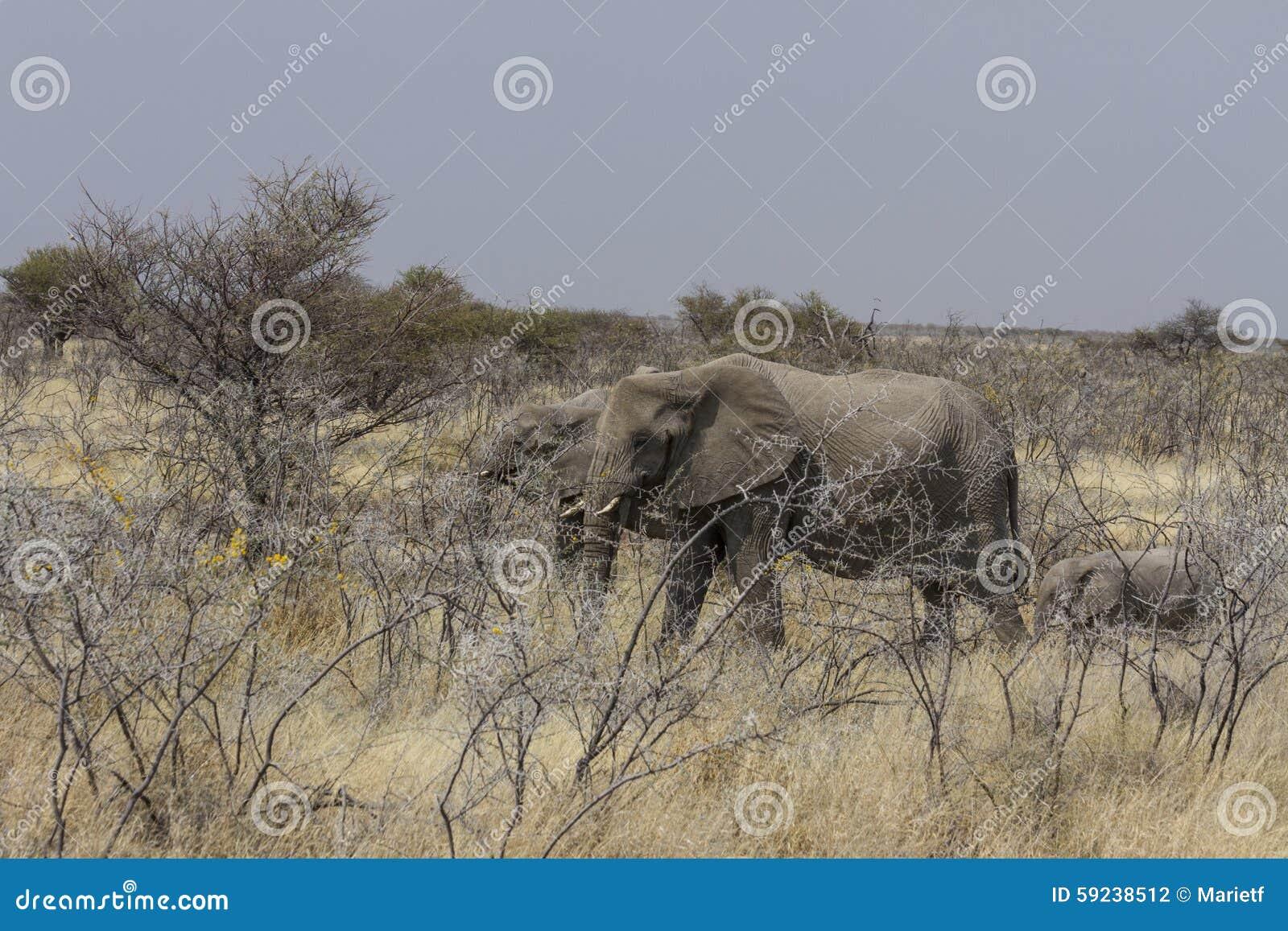 Elefantes africanos que pastan en el matorral del acacia, parque nacional de Etosha, Namibia