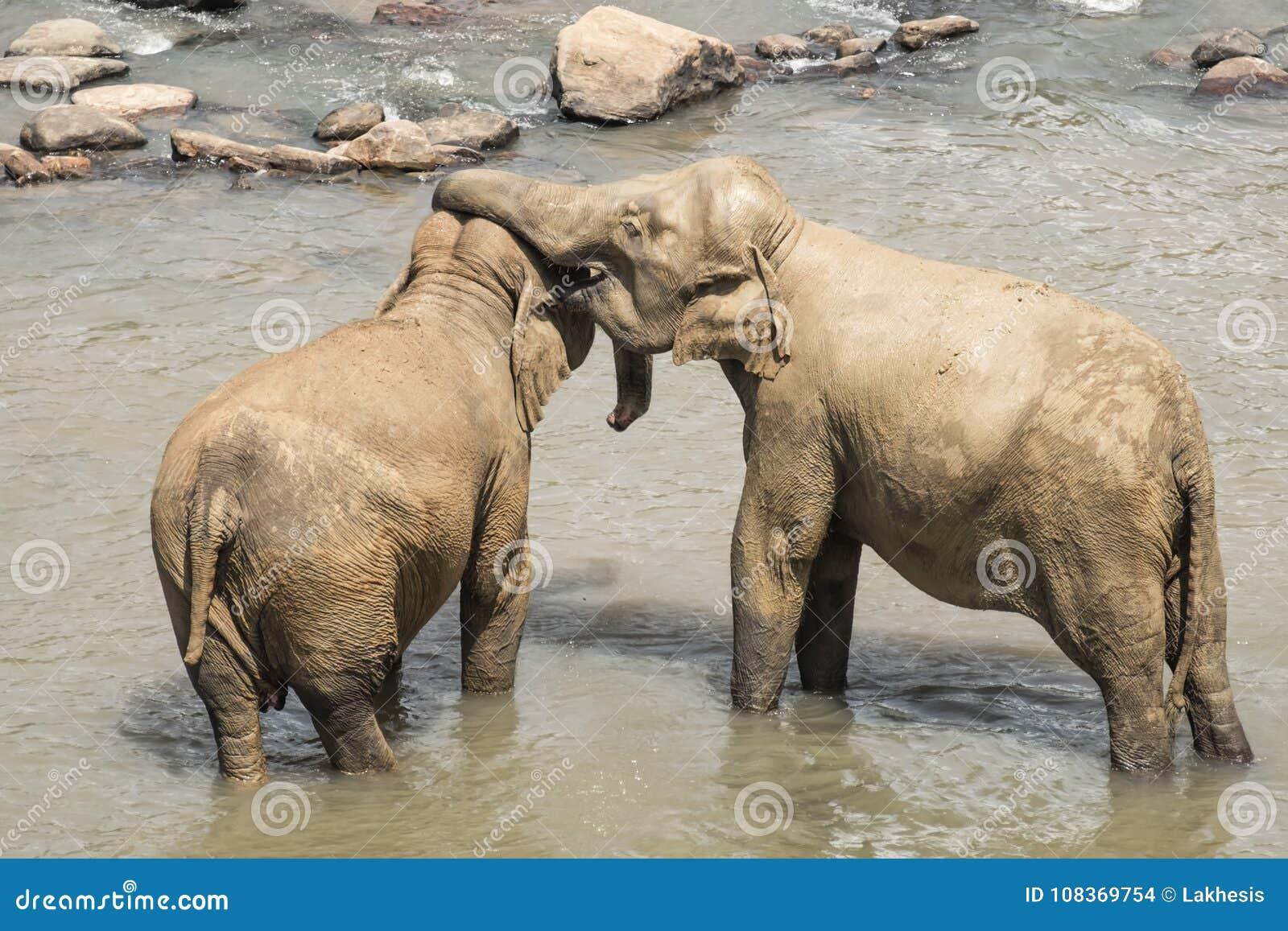 Elefantes asiáticos grandes em Sri Lanka