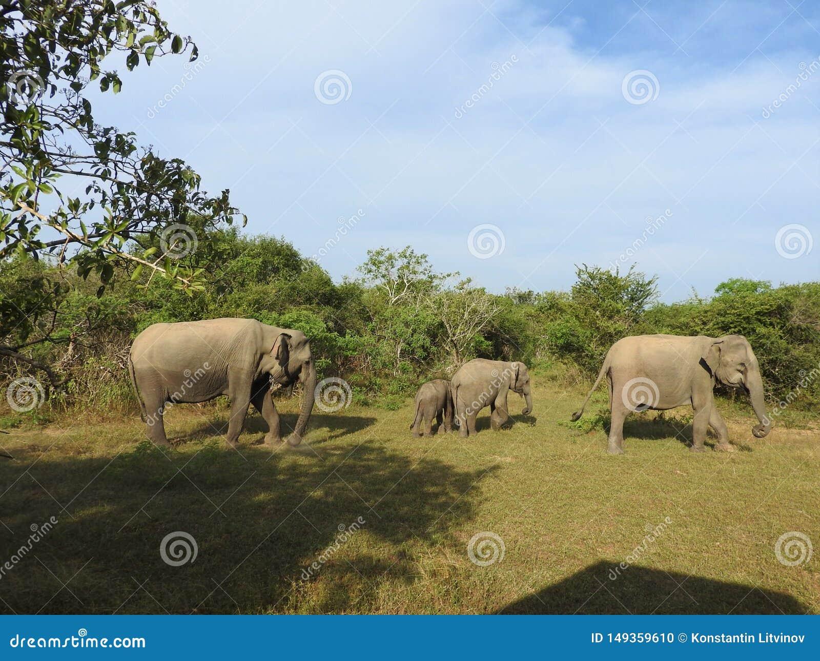 Elefantes em Sri Lanka Dois elefantes asi?ticos novos no parque nacional, Sri Lanka Elefantes asi?ticos na grama com montanhas e
