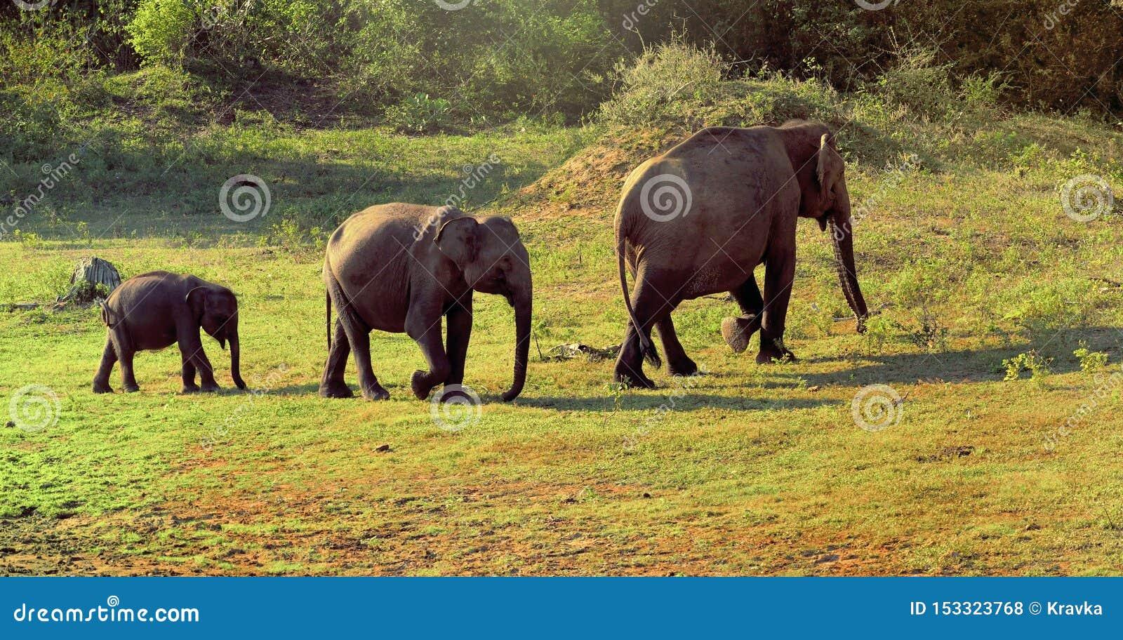 Elefantes familly em Sri Lanka